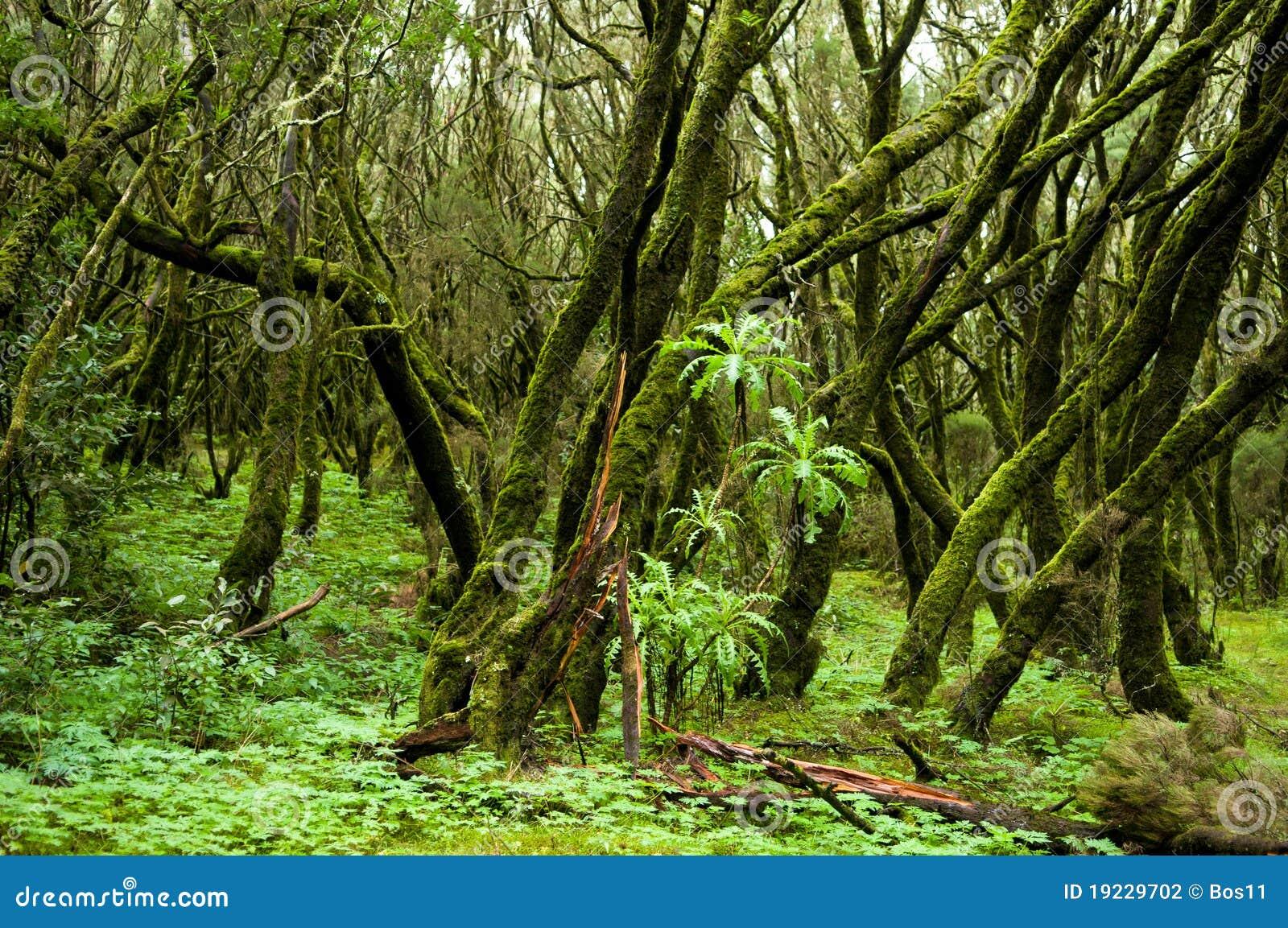 Rain forest in Garajonay national park (La Gomera)