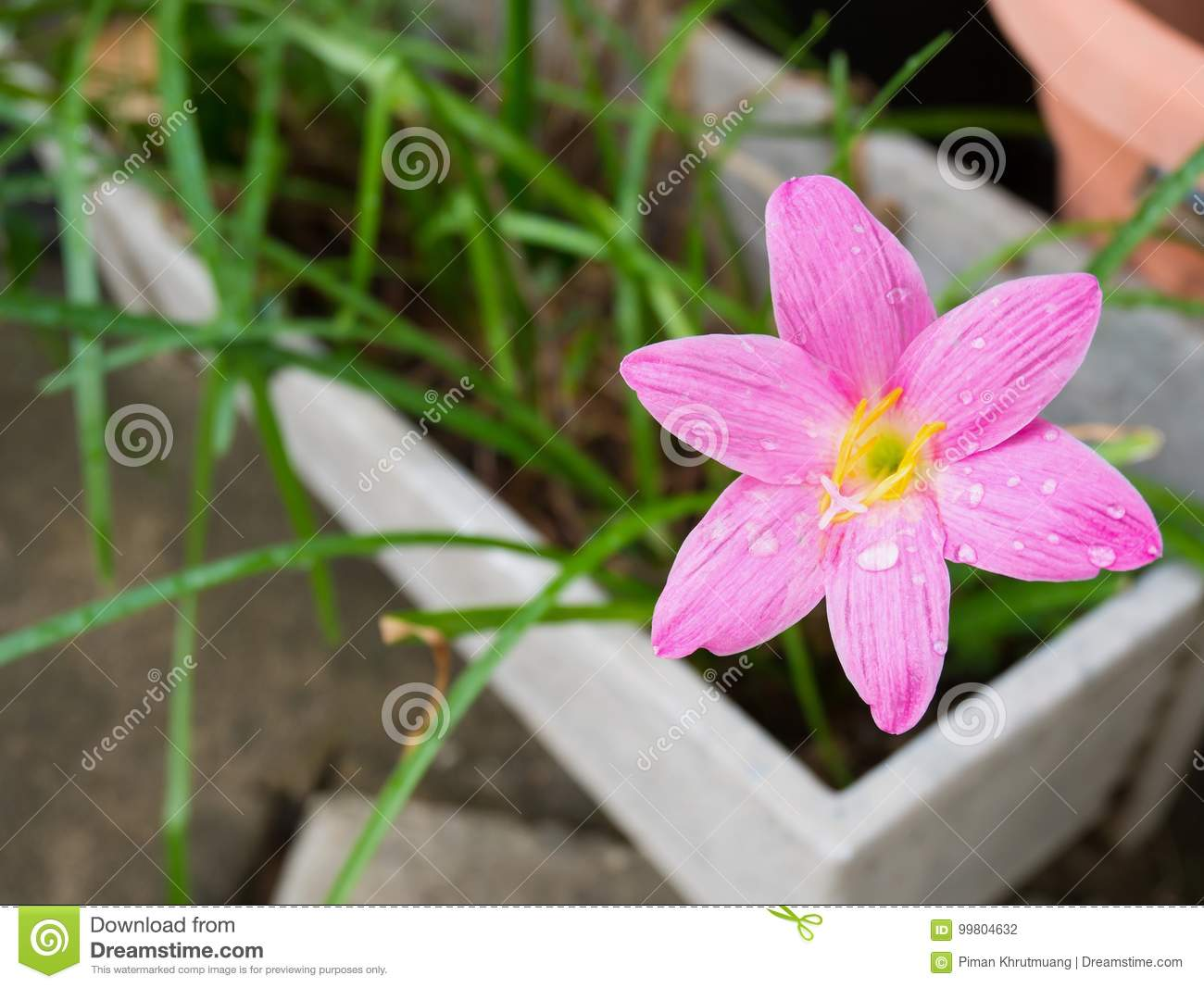 Rain lily flower stock photo. Image of bloom, blossom - 99804632