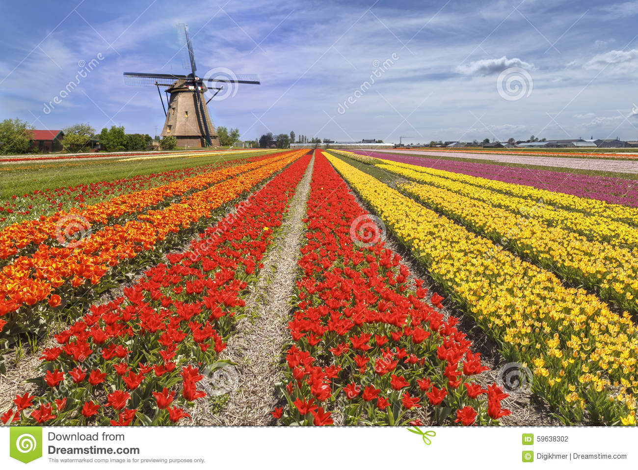 Rainbow Color Tulip Farm Stock Photo Image 59638302