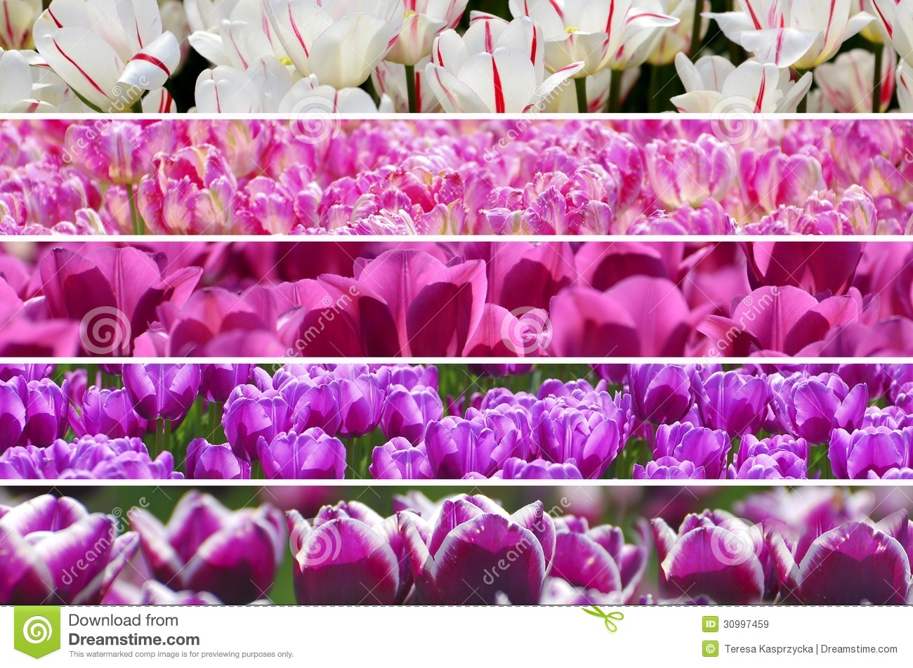 Rainbow colors tulips collage
