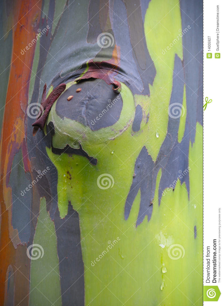 Rainbow Eucalyptus, Colorful Tree Bark Stock Image - Image of limb ...