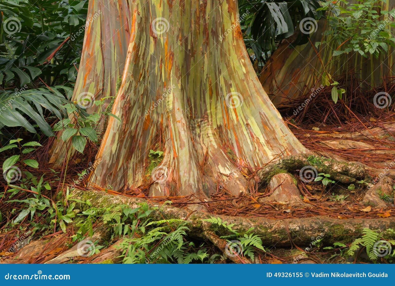 Rainbow Eucalyptus, Maui stock image. Image of arboretum - 49326155