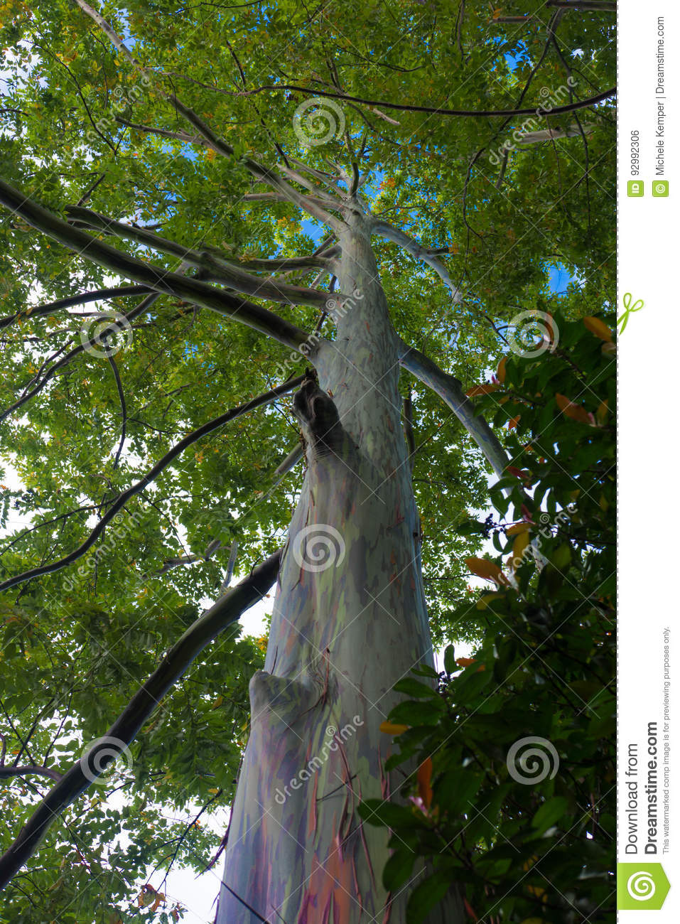 Rainbow Eucalyptus Tree Bark Stock Photo - Image of attraction ...