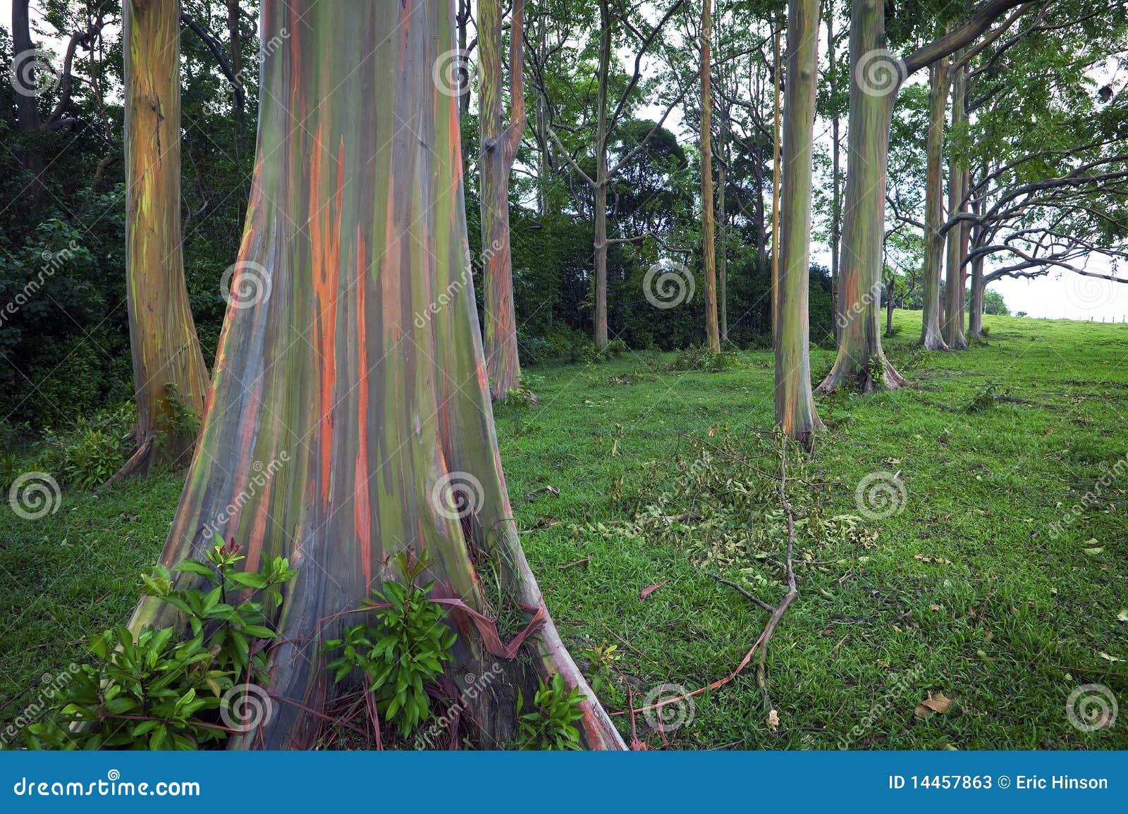 Rainbow Eucalyptus Trees, Maui, Hawaiian Islands