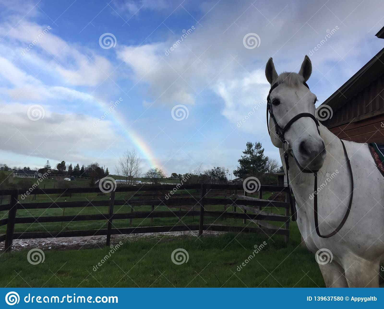 Rainbow, gray horse wearing bridle and barn with green grass