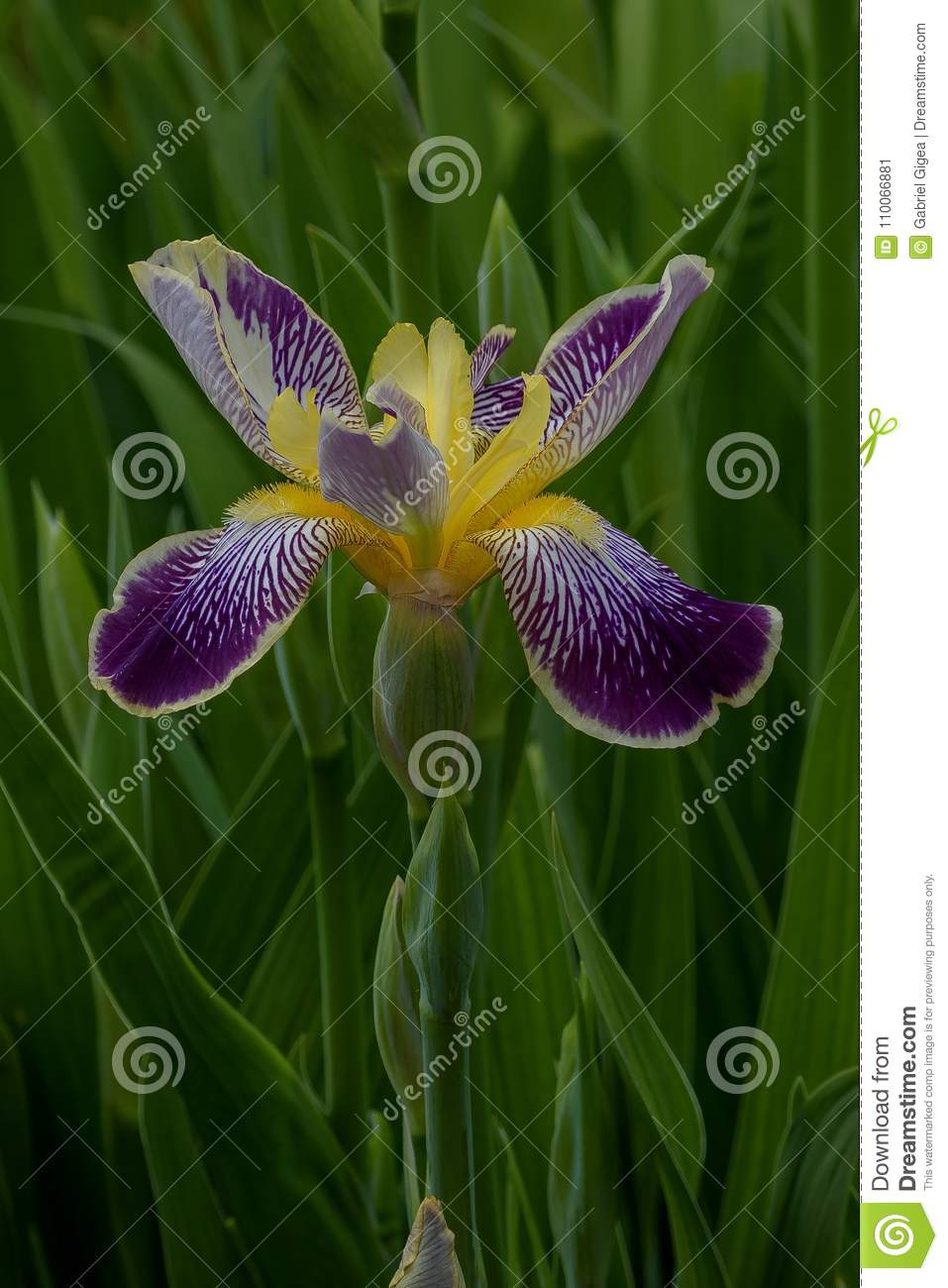 Rainbow iris stock image image of rainbow family flower 110066881 iris is a genus of 260300 species of flowering plants with showy flowers it takes its name from the greek word for a rainbow which is also the name for izmirmasajfo