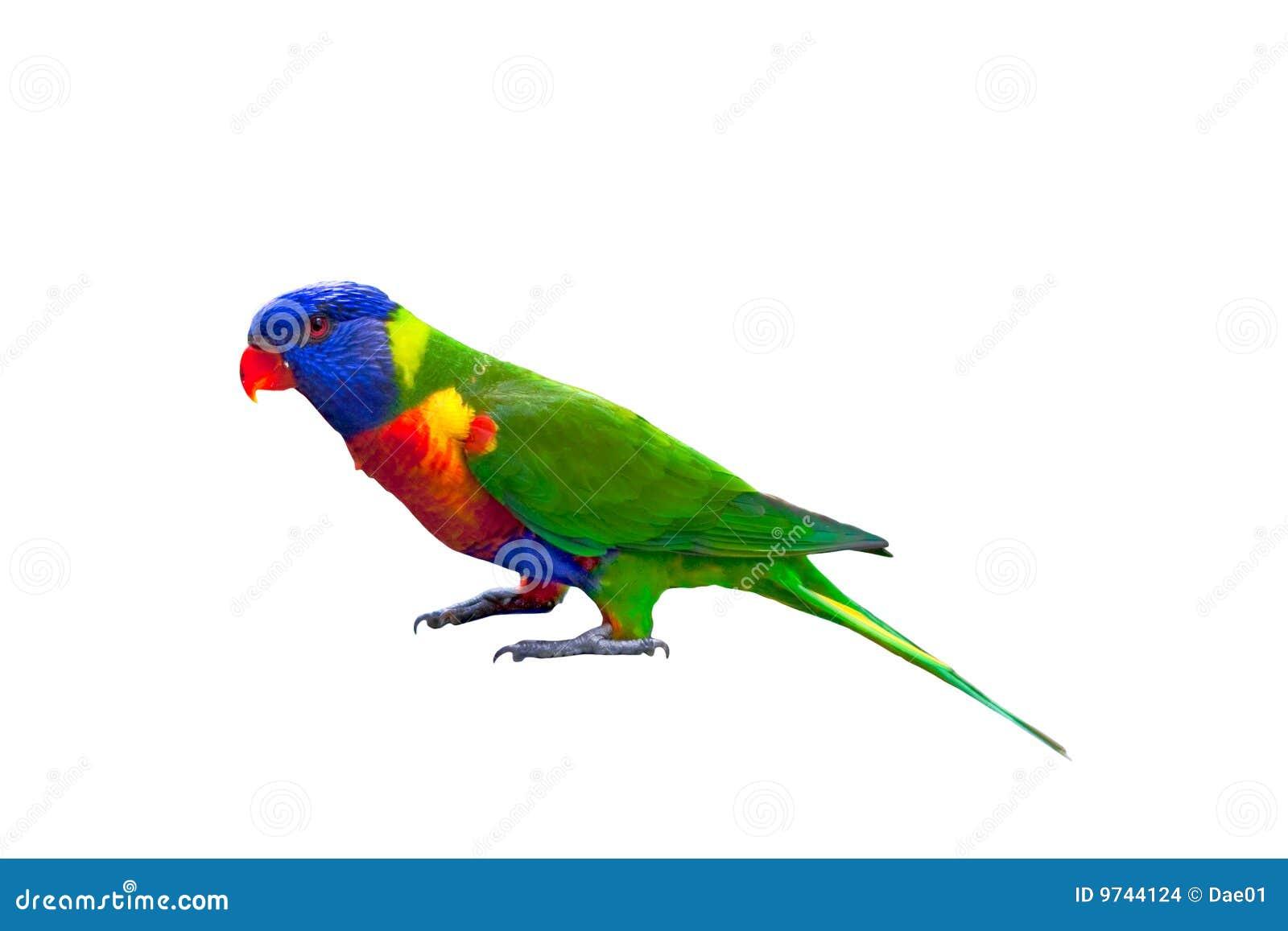 Rainbow Lorikeet Isolated On White Stock Photo - Image of ...