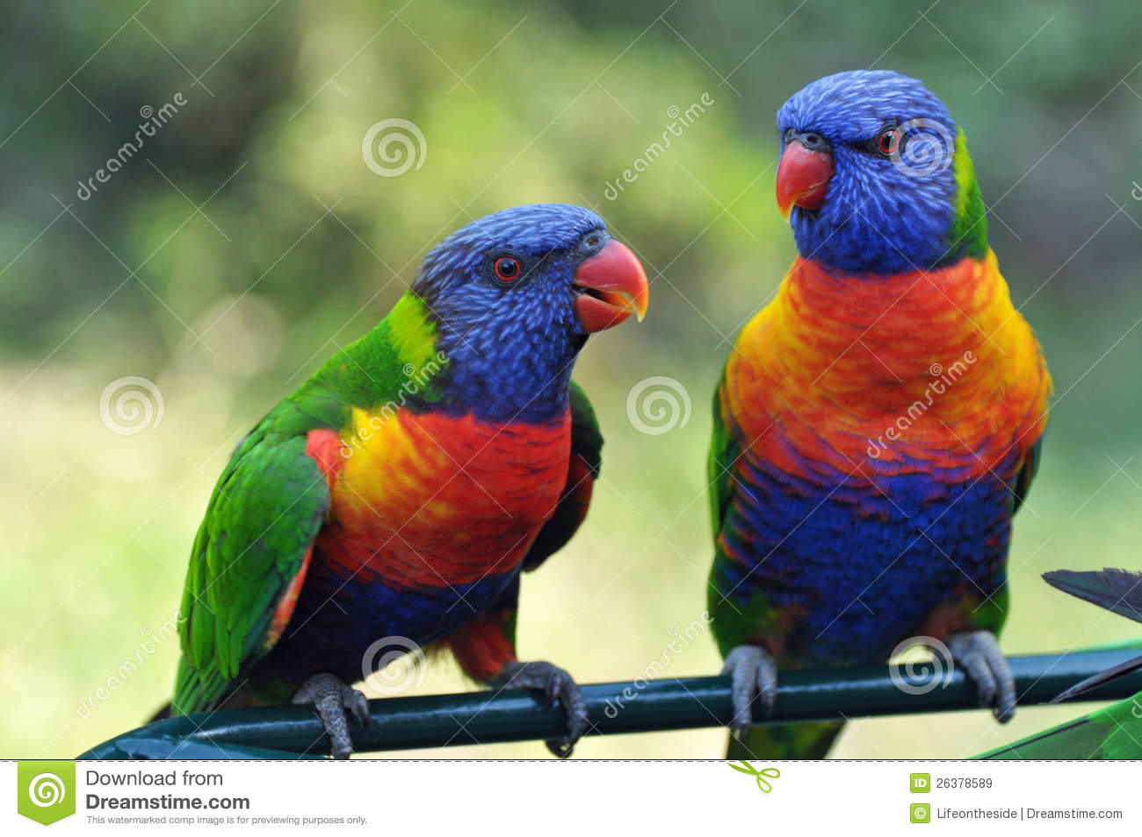Colorful Rainbow Lorikeets Gold Coast Australia