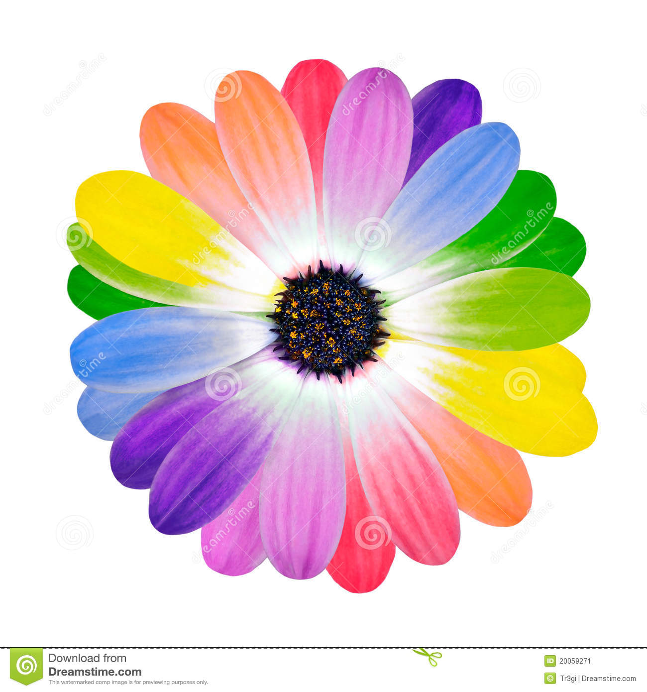 Rainbow multi colored petals of daisy flower stock image for Rainbow petals