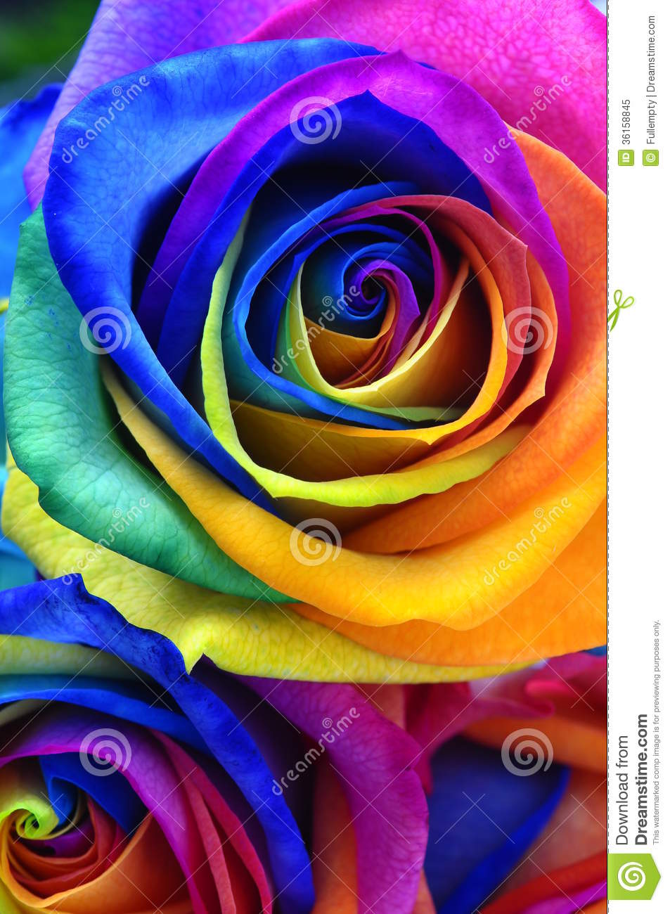 Rainbow rose or happy flower royalty free stock photo for Rainbow dyed roses