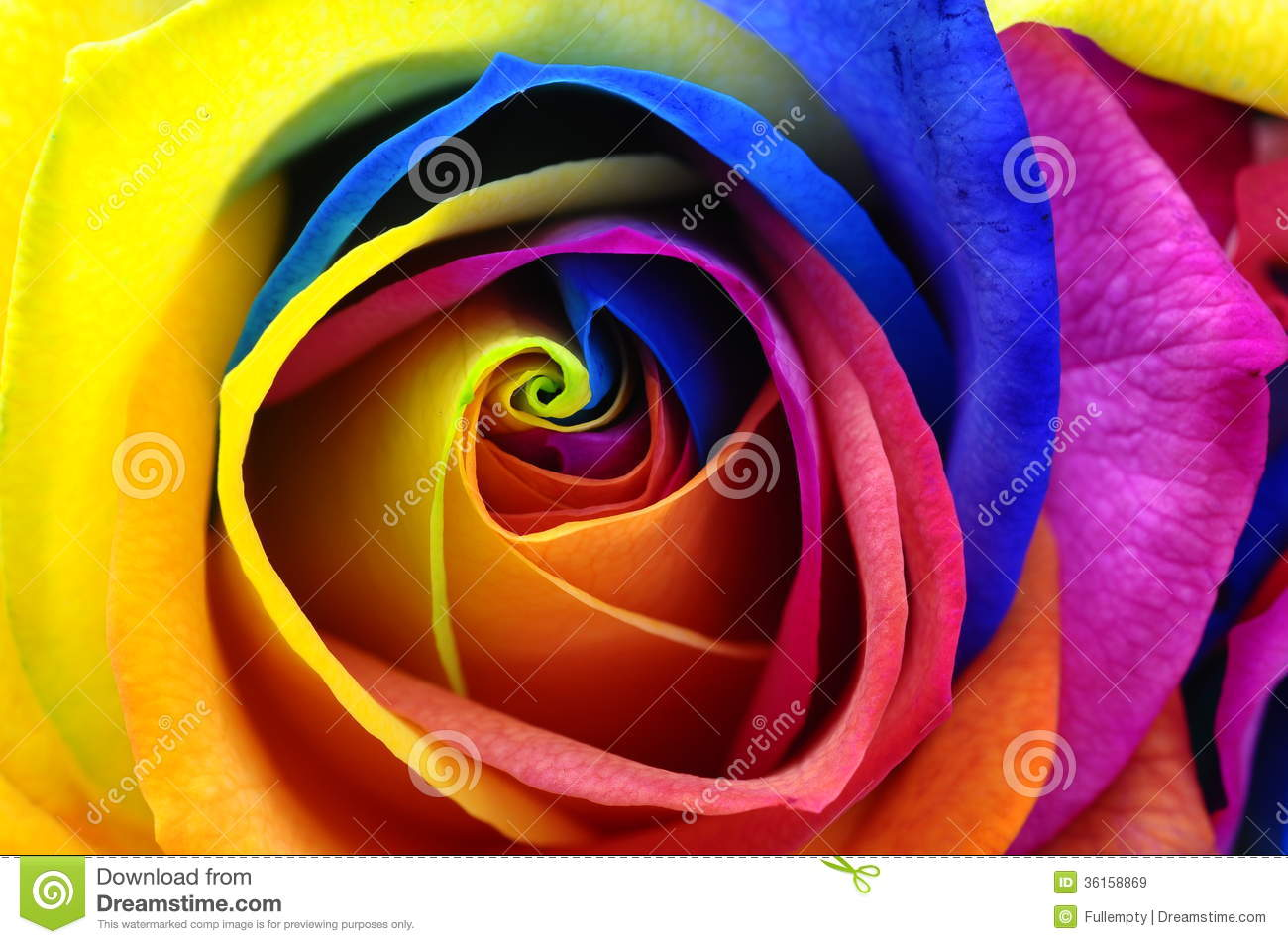 Rainbow rose or happy flower royalty free stock images for Multi colored rose petals