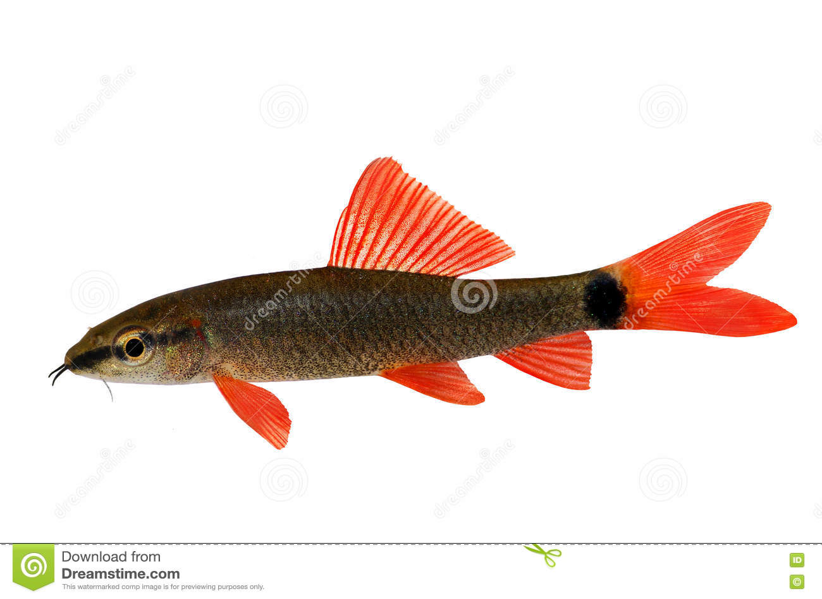 Rainbow shark catfish epalzeorhynchos frenatum aquarium for Rainbow shark fish