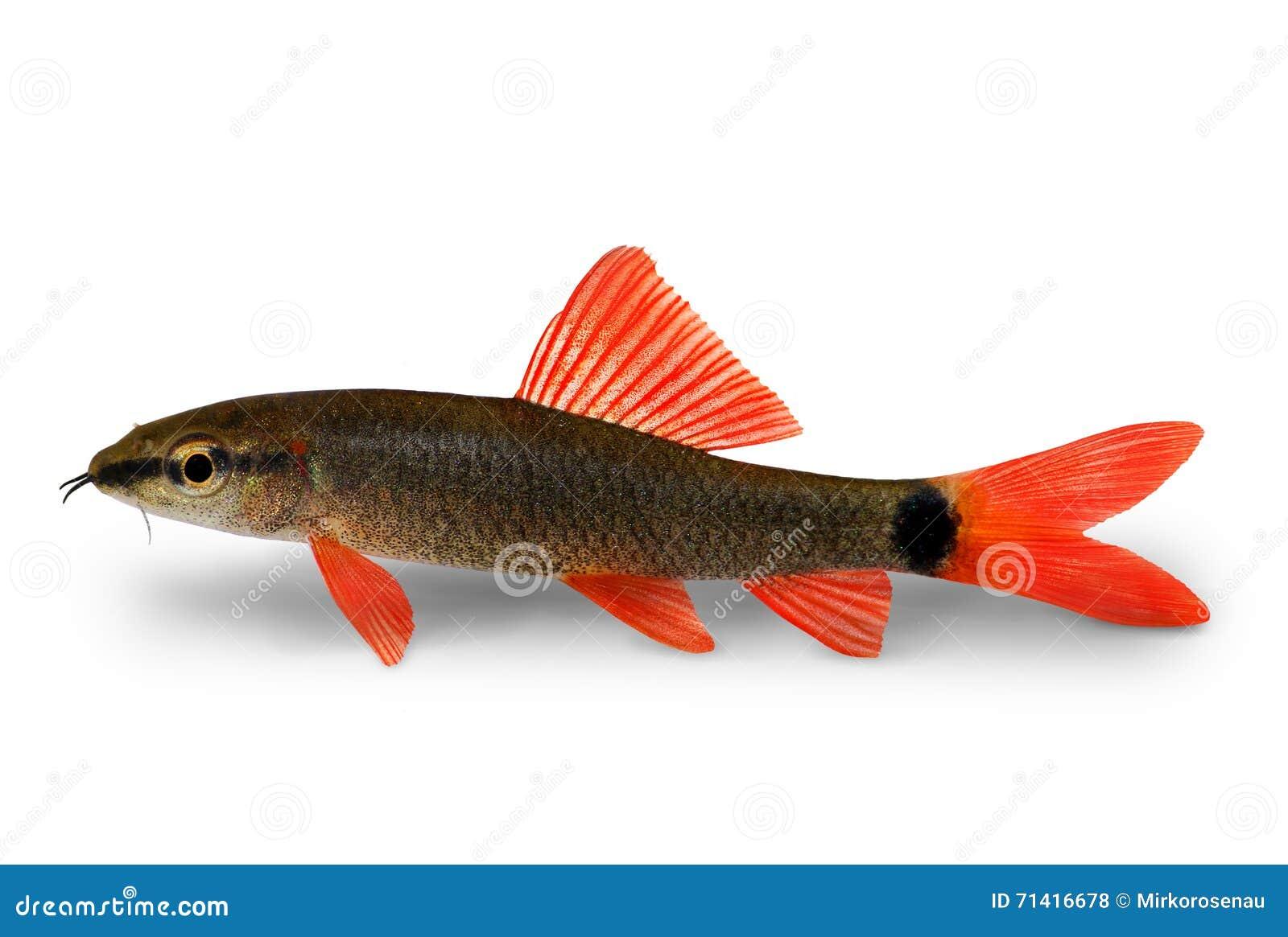 Freshwater aquarium fish rainbow shark - Rainbow Shark Catfish Epalzeorhynchos Frenatum Aquarium Fish Isolated On White