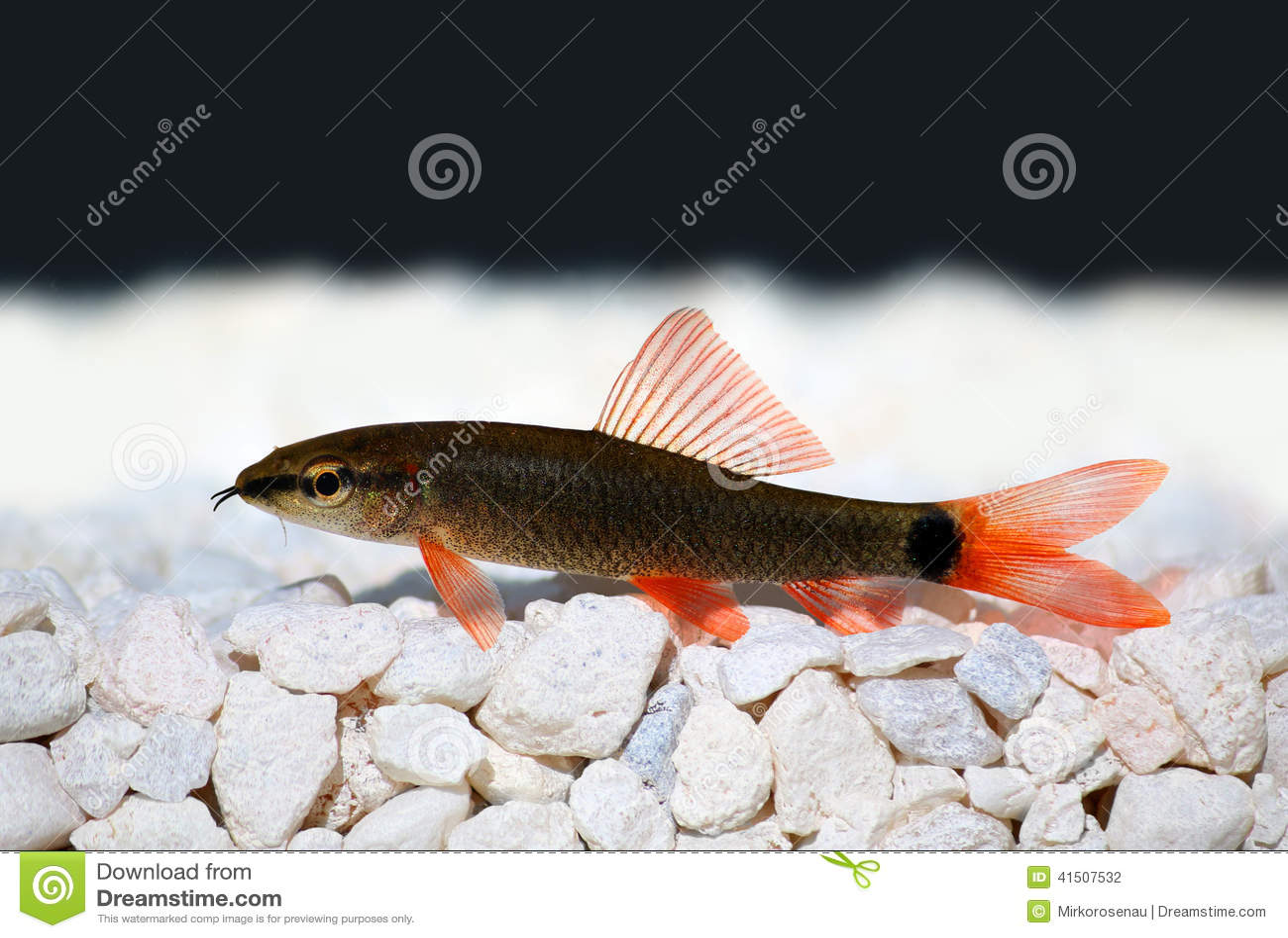Freshwater aquarium fish rainbow shark - Rainbow Shark Catfish Epalzeorhynchos Frenatum Stock Photography