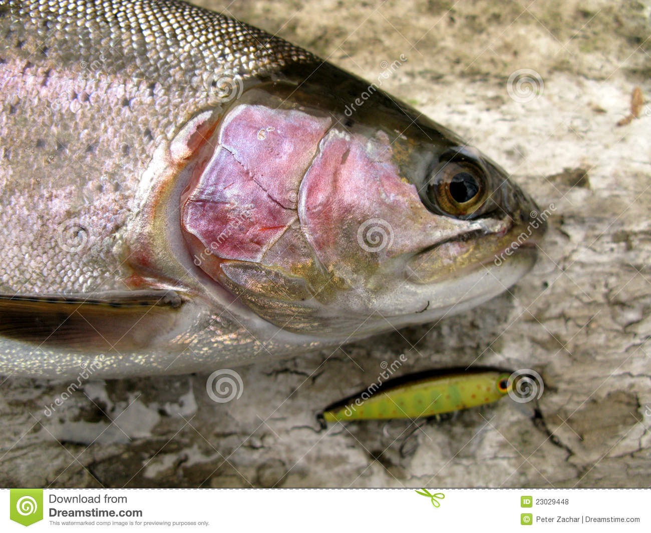 Rainbow trout fishing royalty free stock photos image for Trout fish pictures