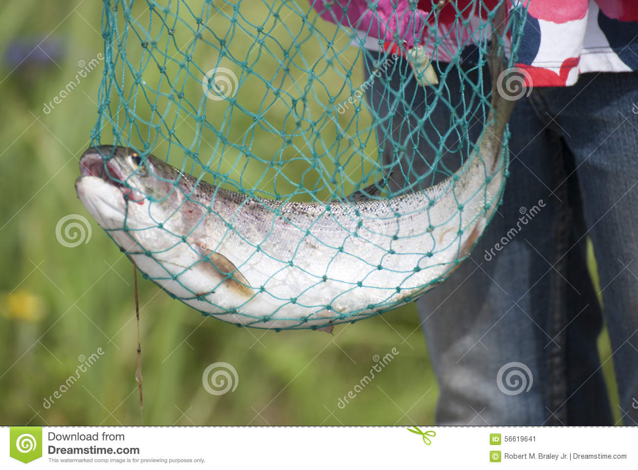 Download Rainbow Trout (Oncorhynchus Mykiss) Reflections Lake Palmer Alaska Stock Image - Image of gravel, forest: 56619641