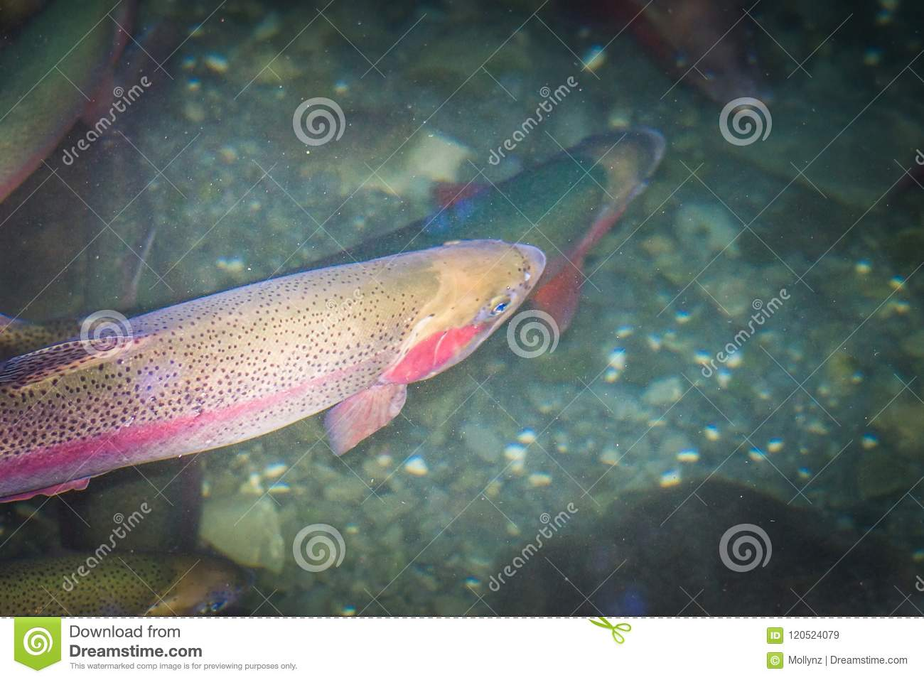 Close up image of New Zealand Rainbow Trout in freshwater