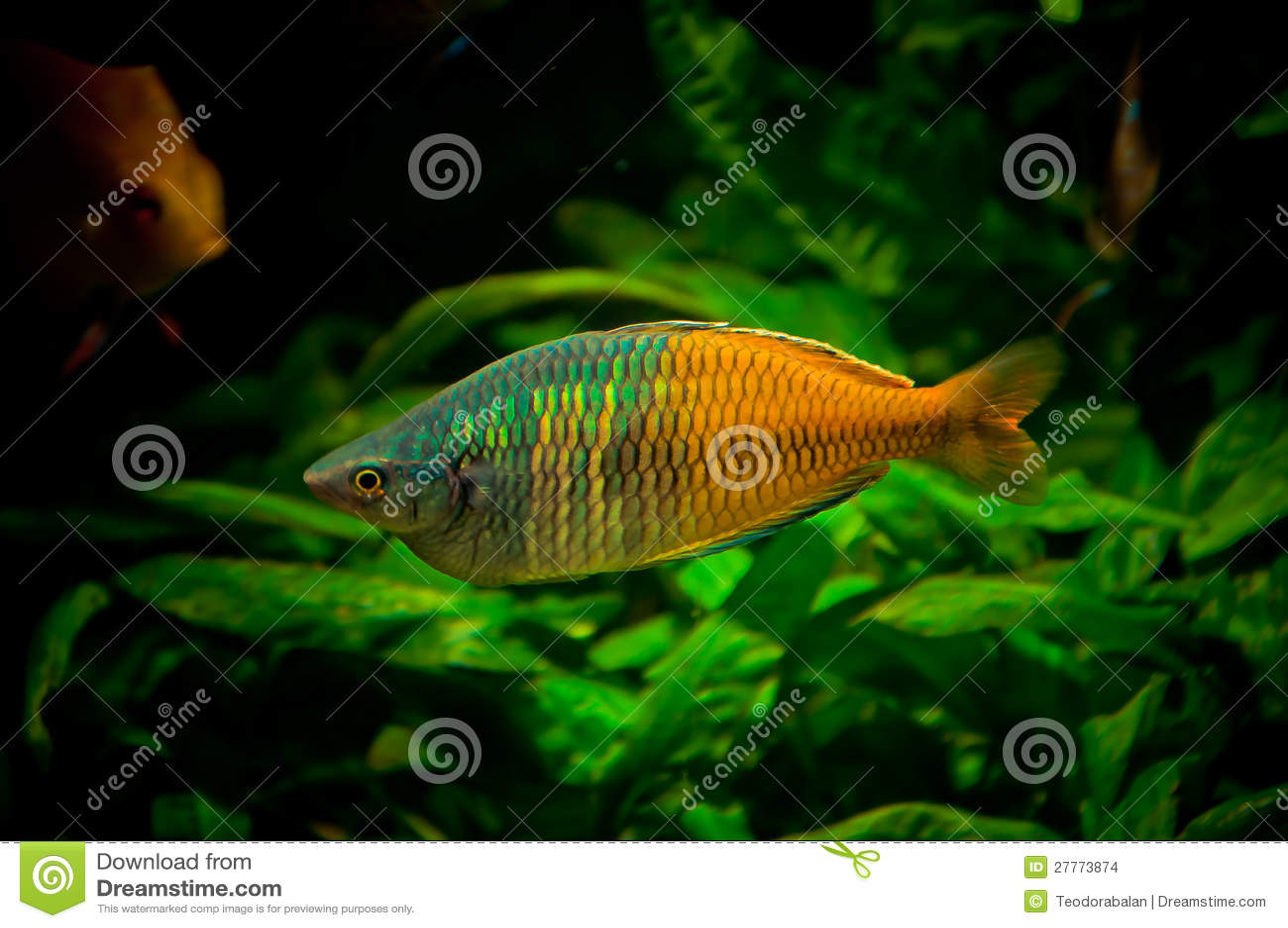 Rainbowfish mâle
