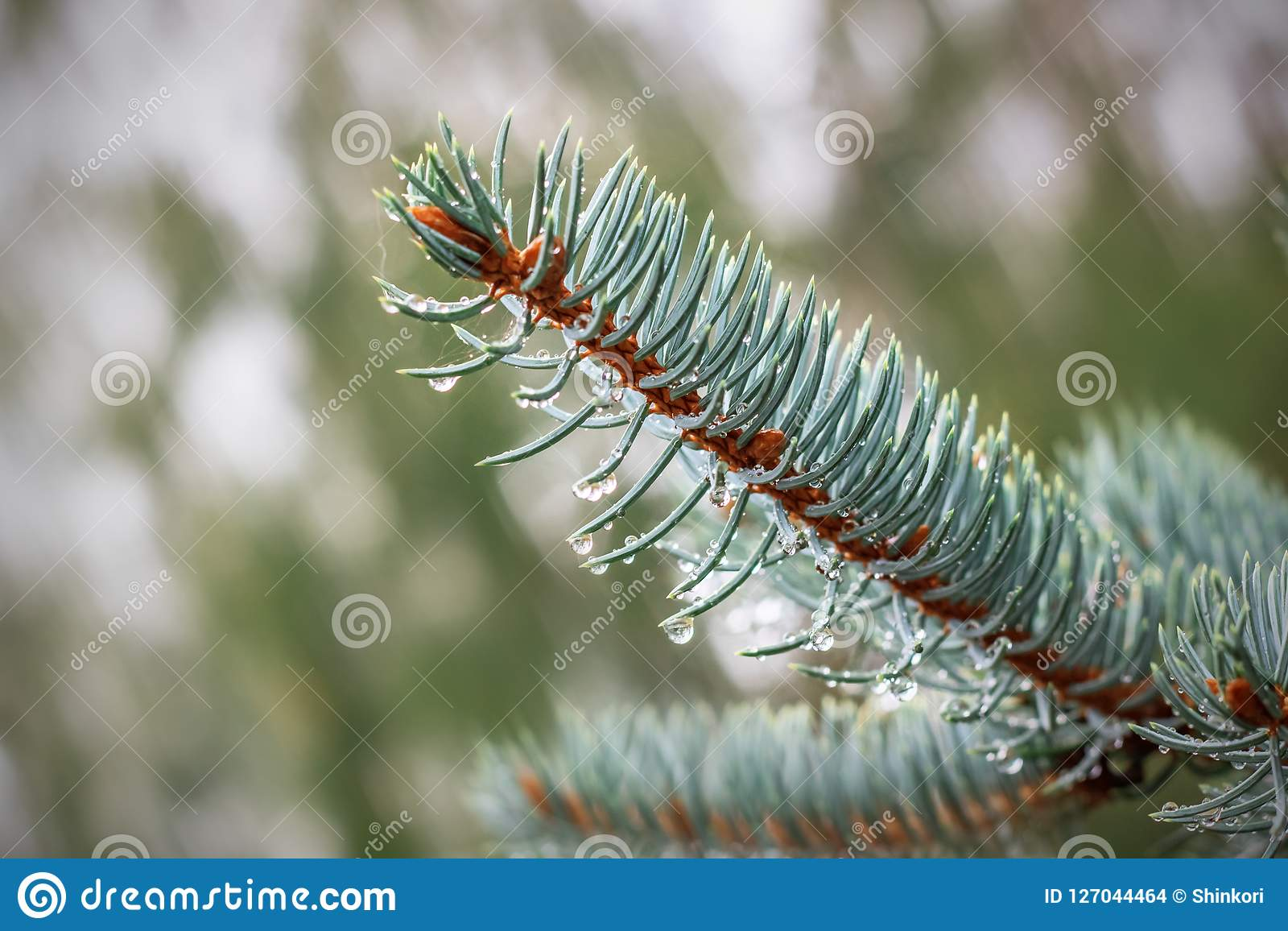 Raindrops on a branch of blue spruce