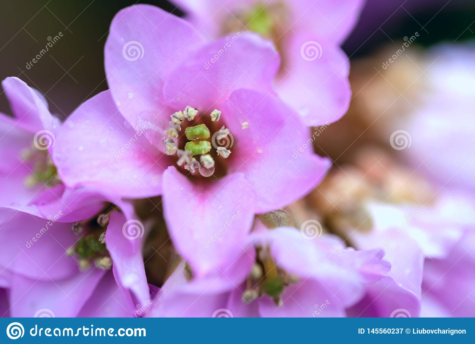 Красивый розовый сад цветков весной Дождевые капли на цветках