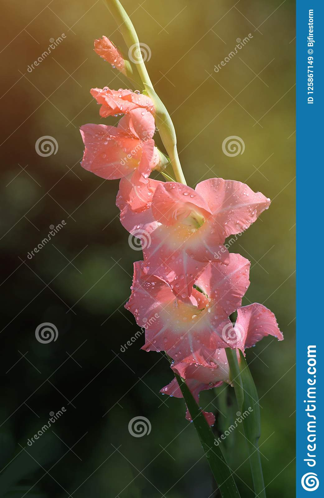 Raindrops On Pink Gladiolus Flowers