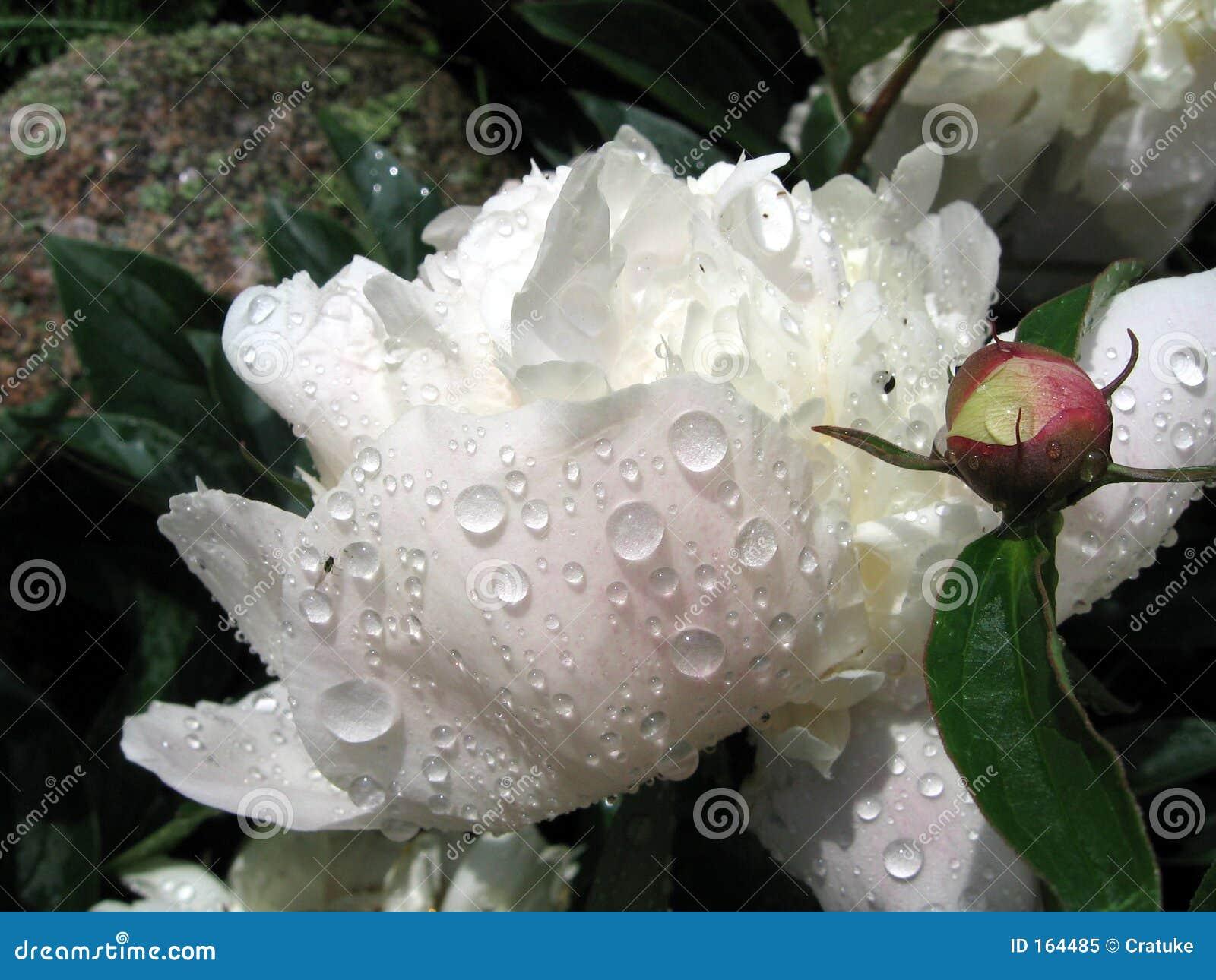 Raindrops on the white peony