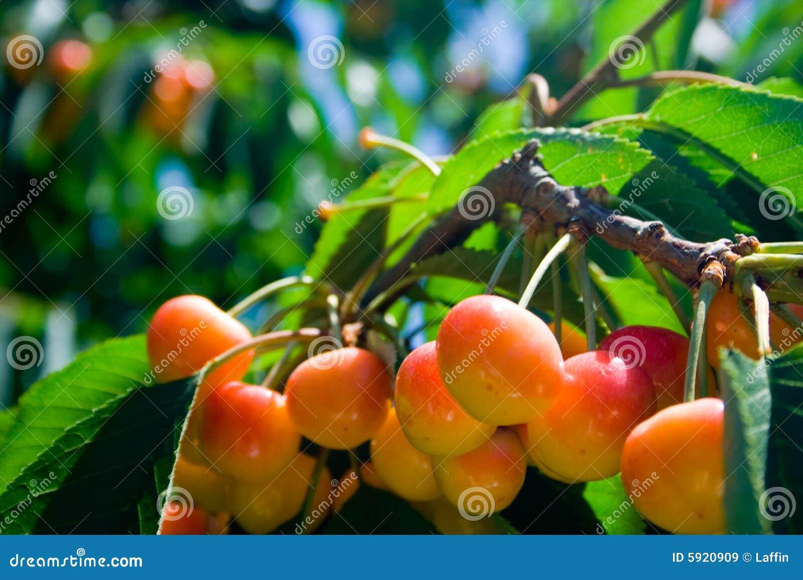 Rainier cherries on tree royalty free stock images image 5920909 - Romanian cherry tree varieties ...