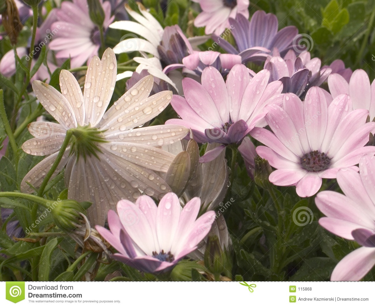 Download Rainy Daisies stock photo. Image of purple, dainty, garden - 115868