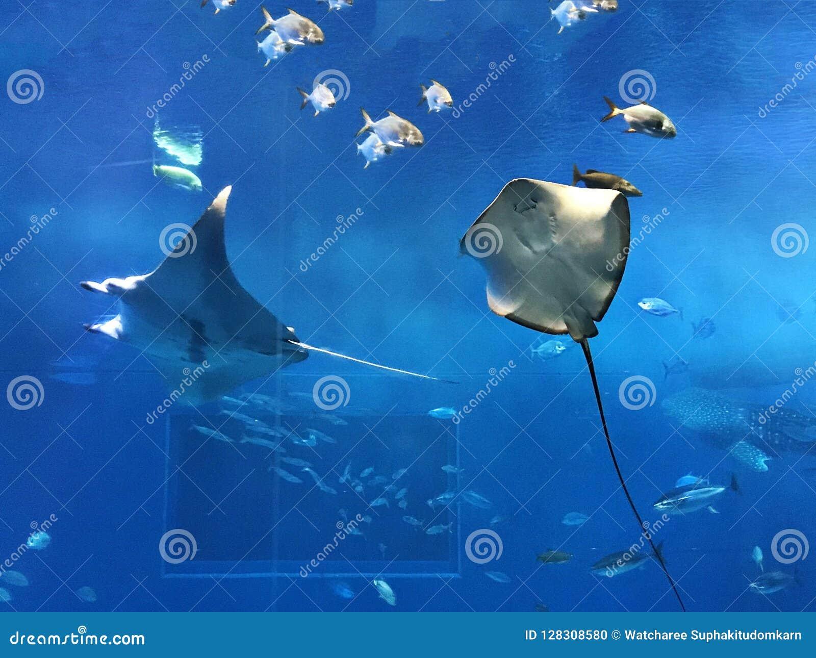 Raio de manta do recife ou alfredi do Manta ou alfredi e arraia-lixa do Mobula