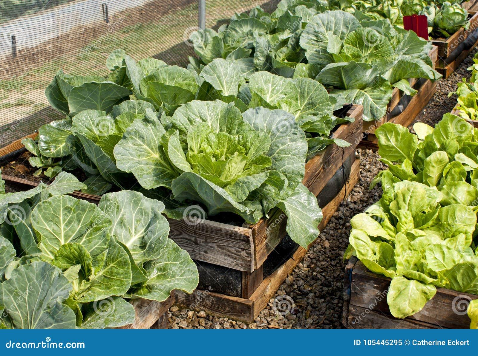 Picture of: Raised Bed Pallet Vegetable Garden Stock Image Image Of Lettuce Leaf 105445295