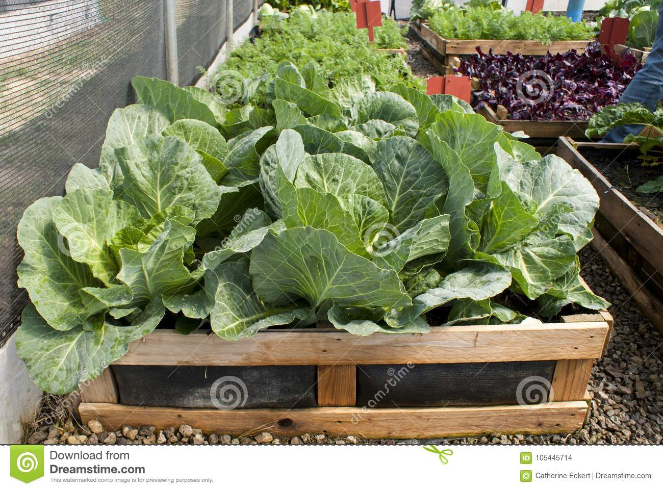 Picture of: Pallet Vegetable Garden With Cabbages Carrots And Beetroot Stock Photo Image Of Leaf Vegetarian 105445714