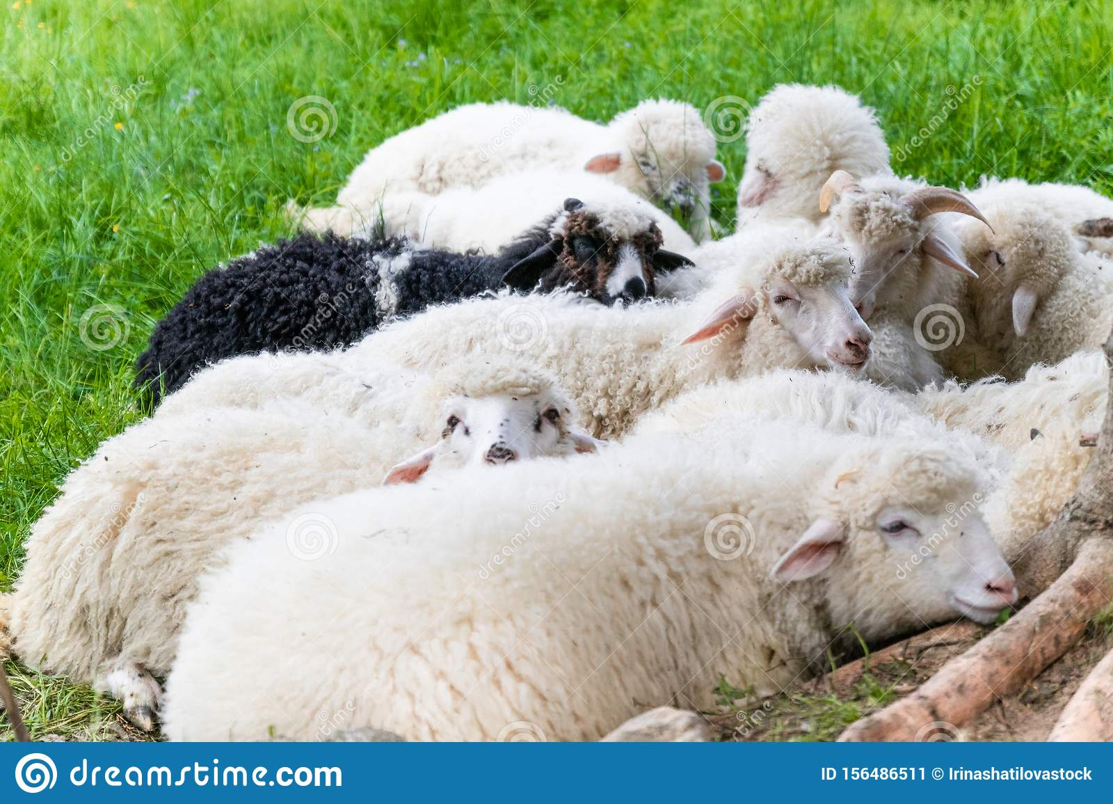 Raised Livestock Flock Of Sheep Lying In A Green Meadow Stock Image Image Of Cluster Curly 156486511