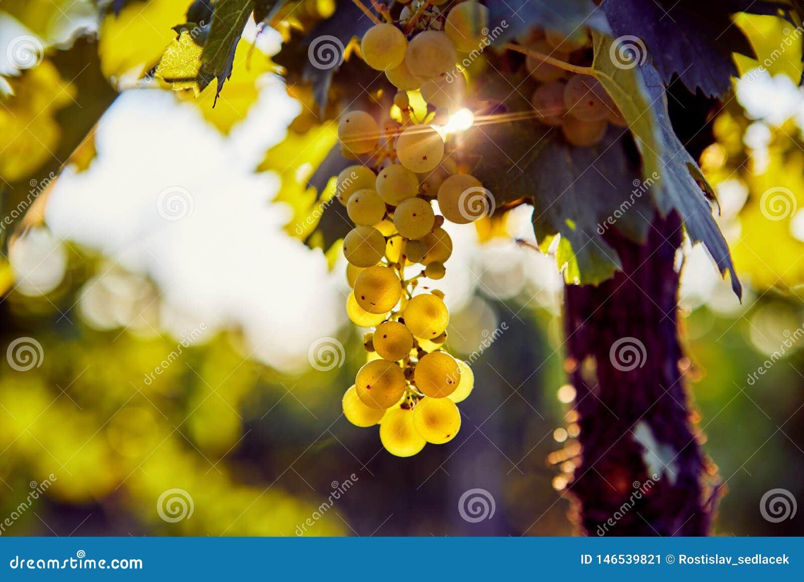 Raisin jaune accrochant dans un vignoble