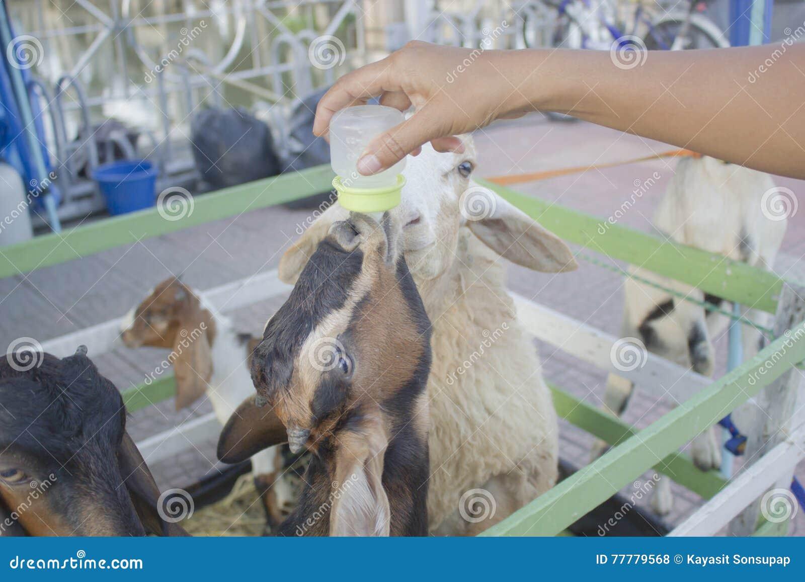 Raising milk goats stock photo  Image of adult, nurture