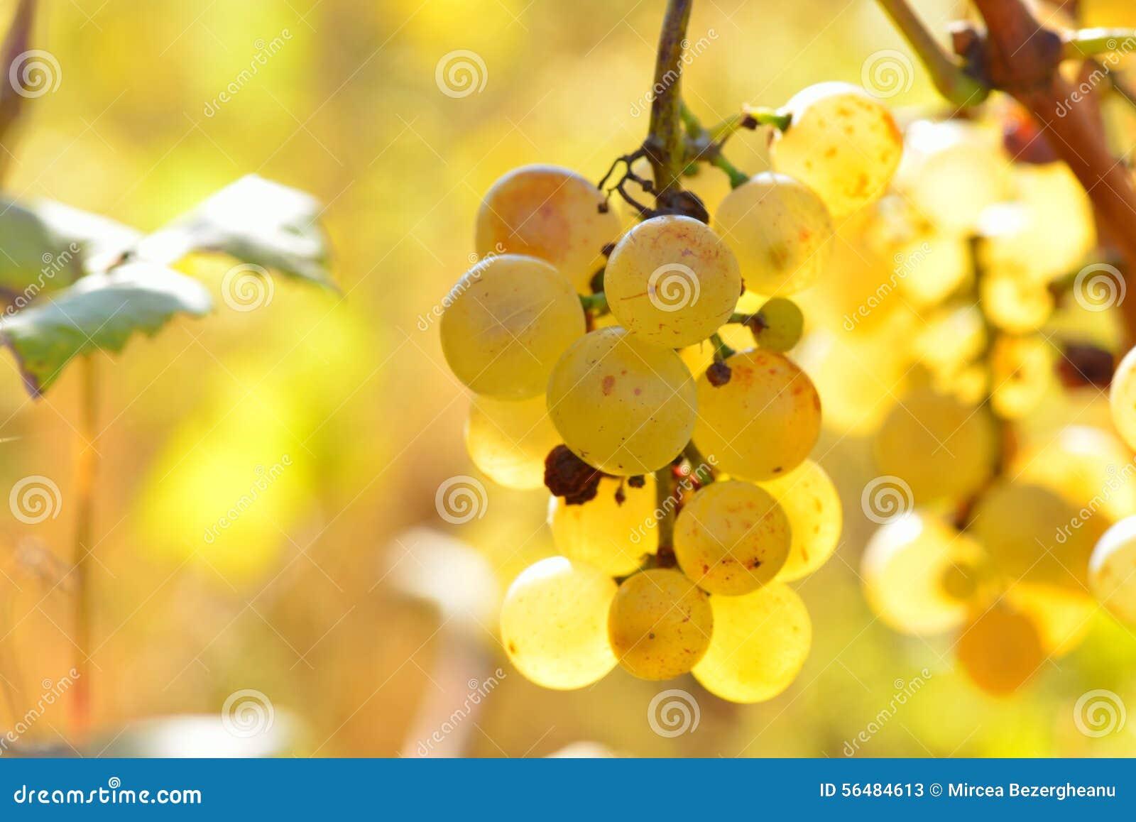 Raisins blancs dans le vignoble en automne