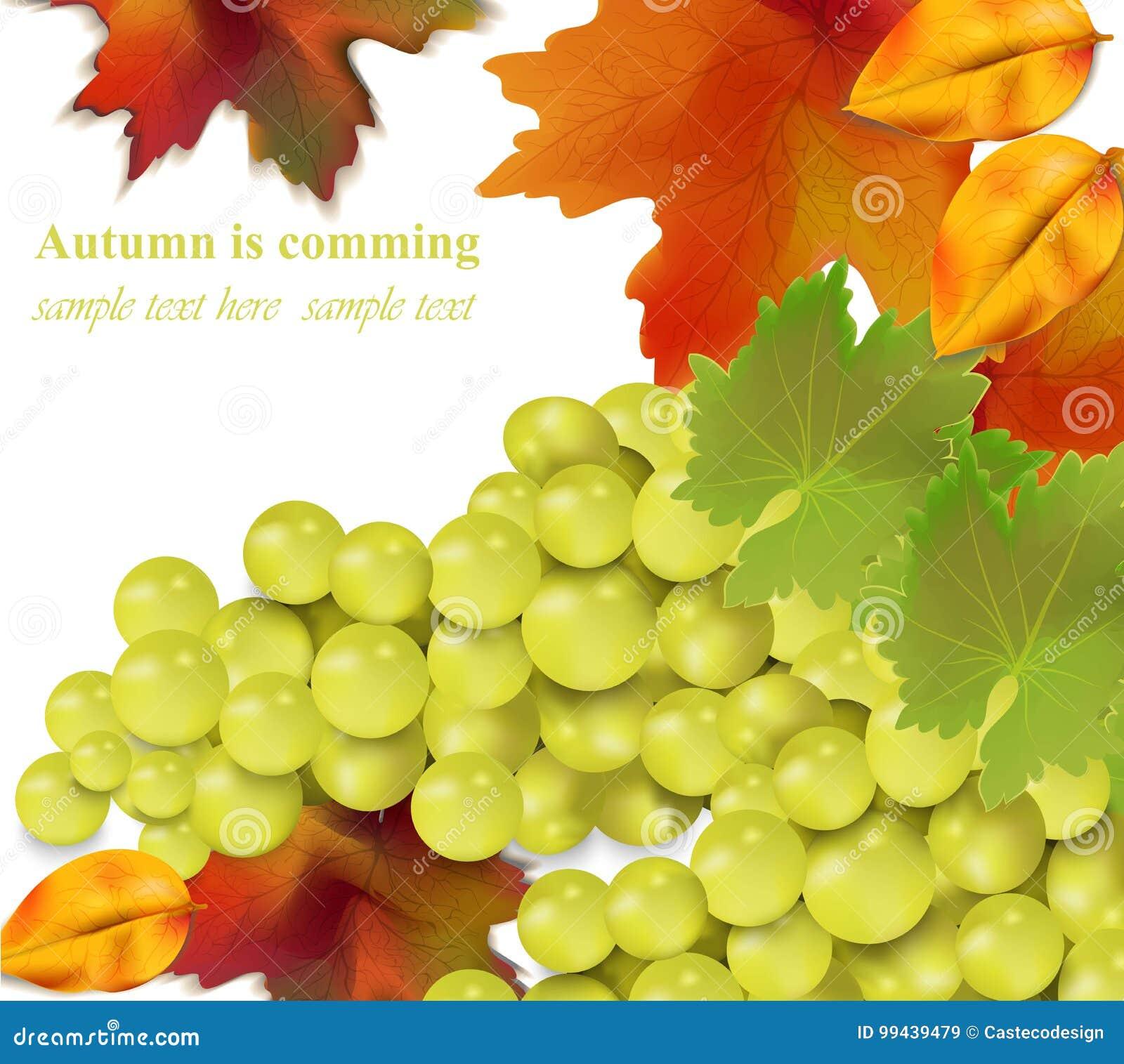 Raisins blancs sur le fond blanc Illustration réaliste de vecteur de récolte de saison