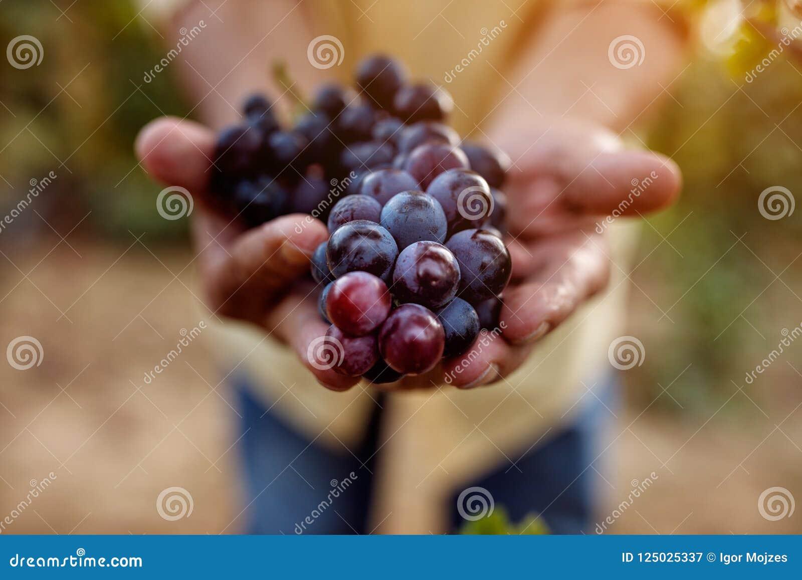 Raisins bleus mûrs