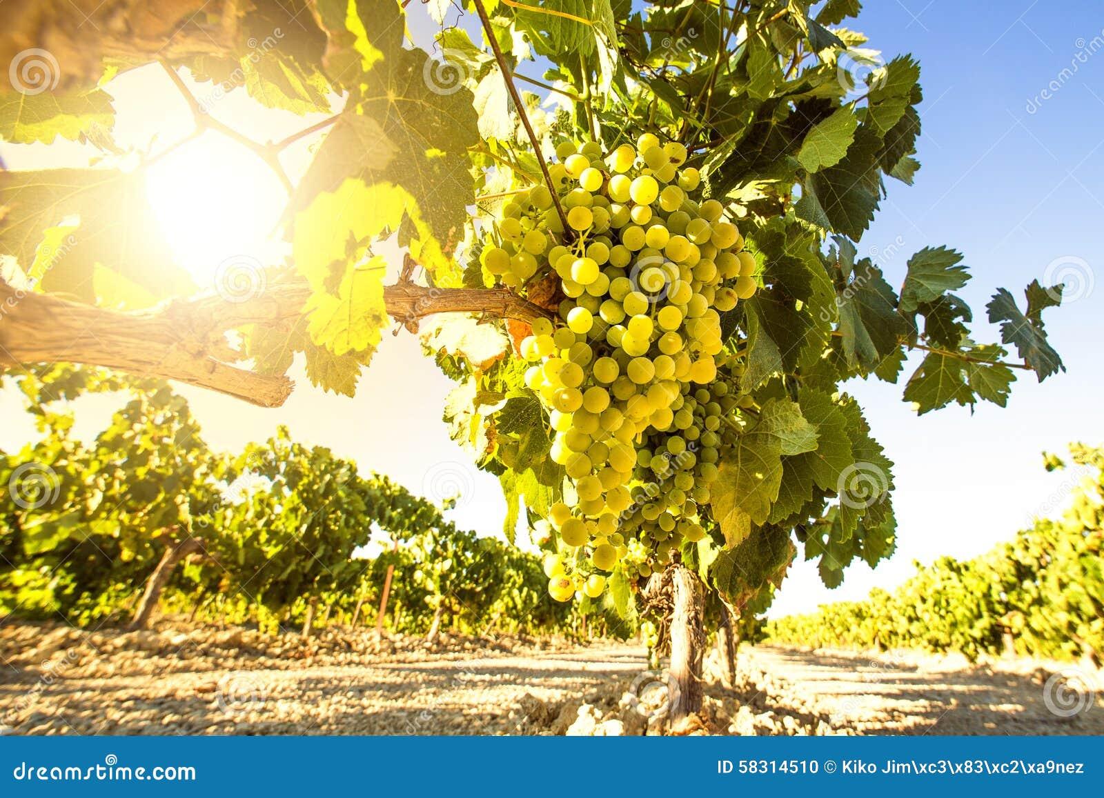 Raisins de cuve blanc dans la vigne