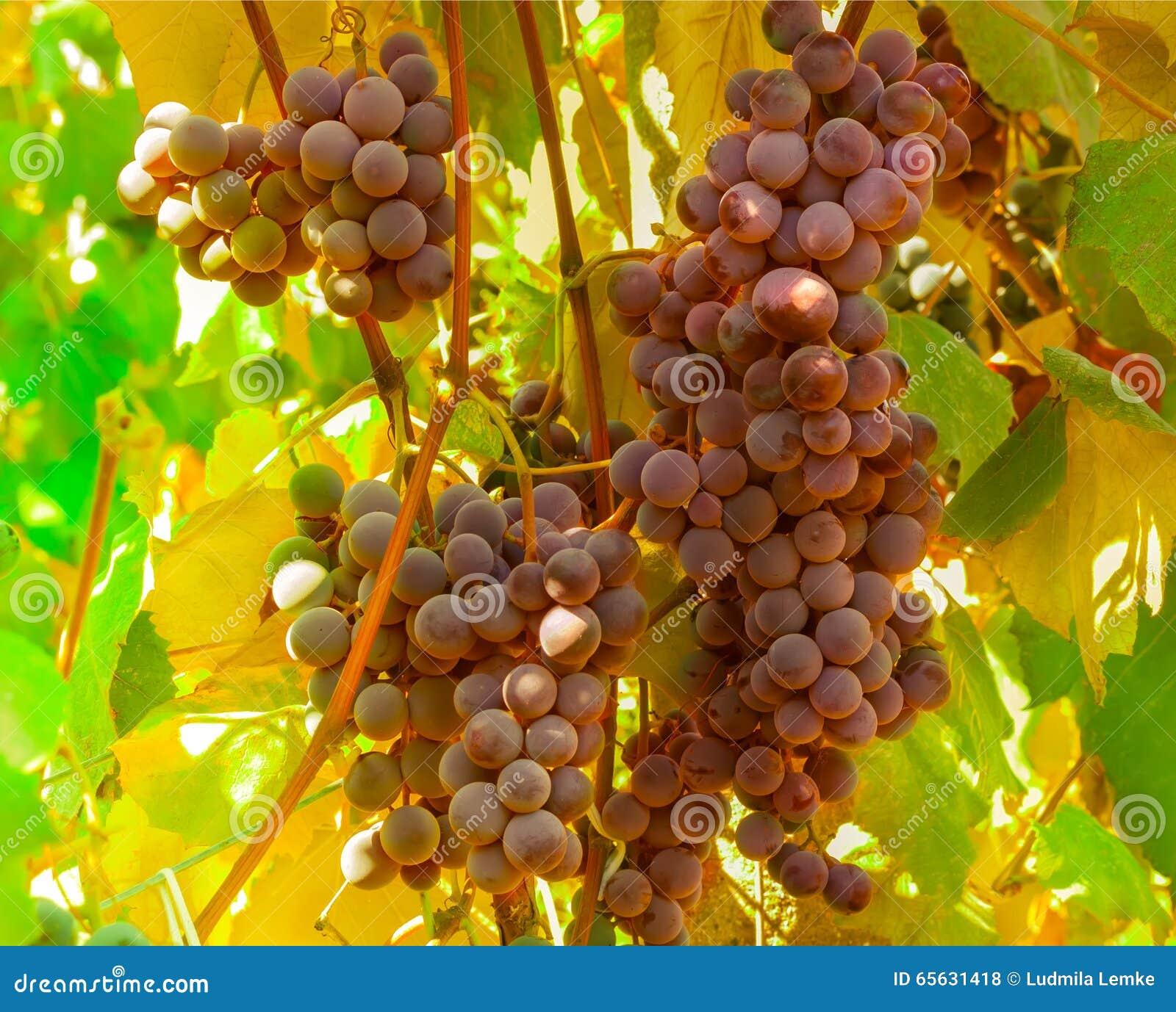 Raisins mûrs prêts pour la moisson