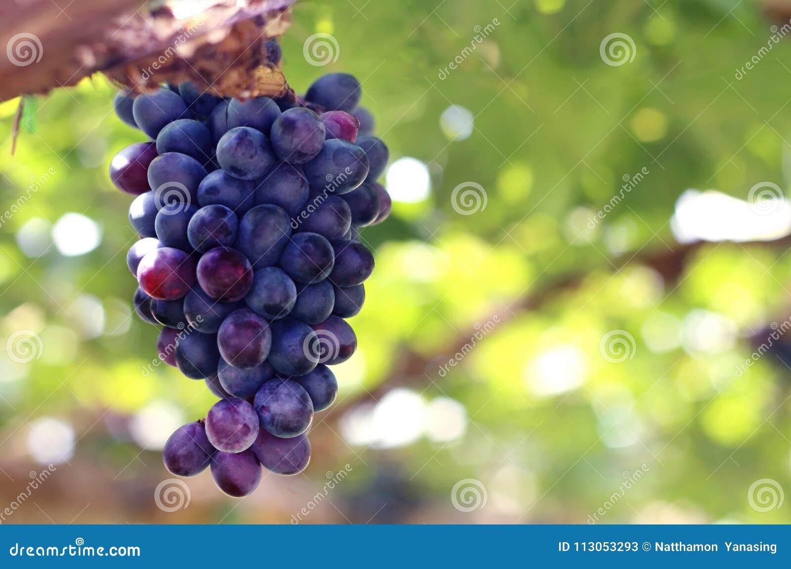 Raisins rouges pourpres avec les feuilles vertes sur la viticulture dans le vignoble