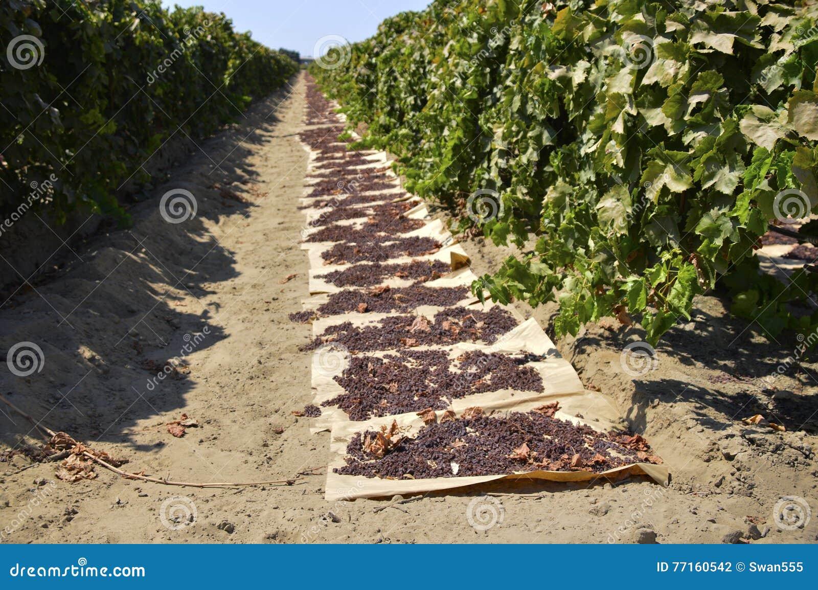 Raisins secs secs sur le soleil