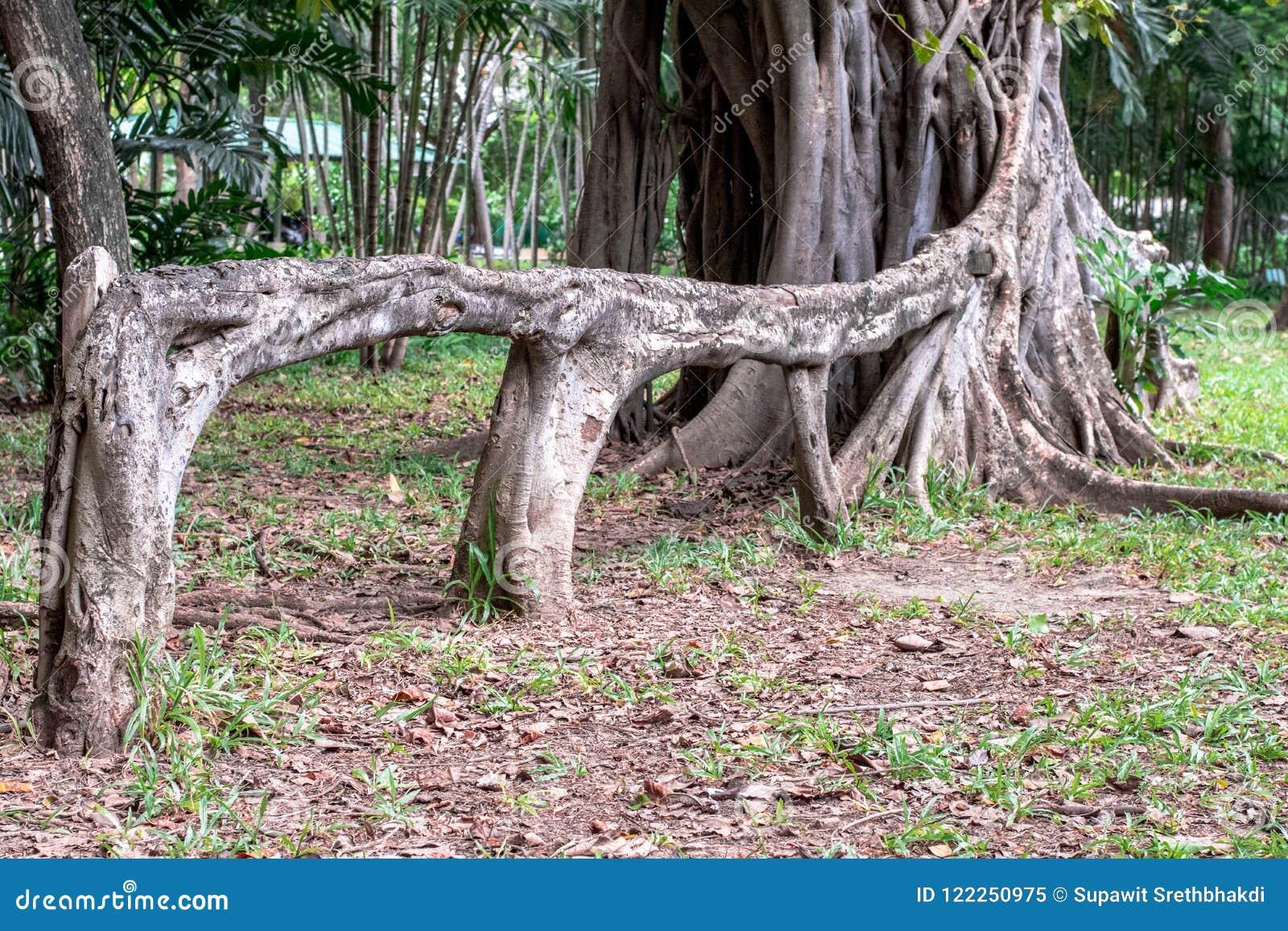 A raiz aérea de chorar o benjamina do ficus do figo gosta de um banco no jardim