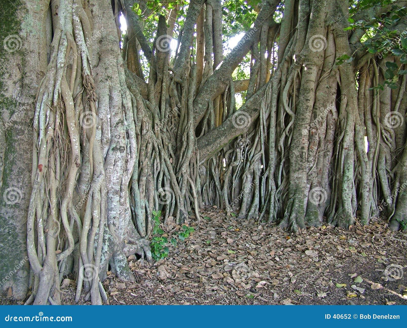 Raizes da árvore de figo