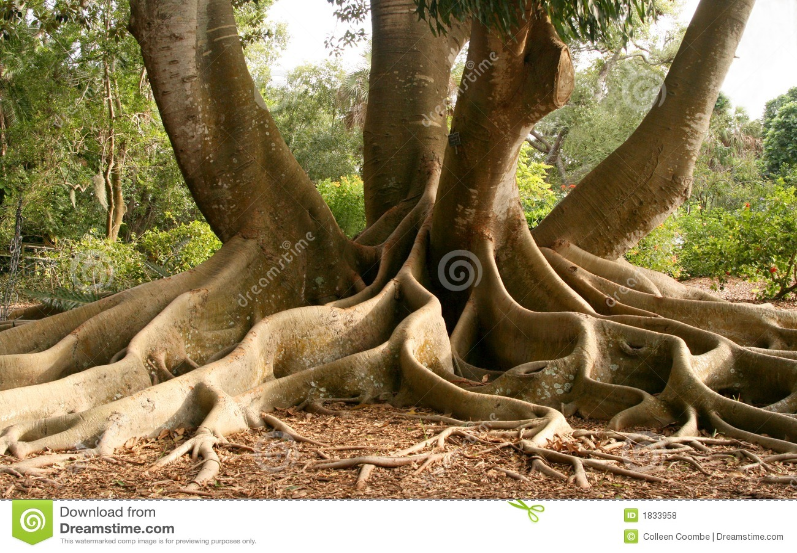 Raizes da árvore de figo do louro