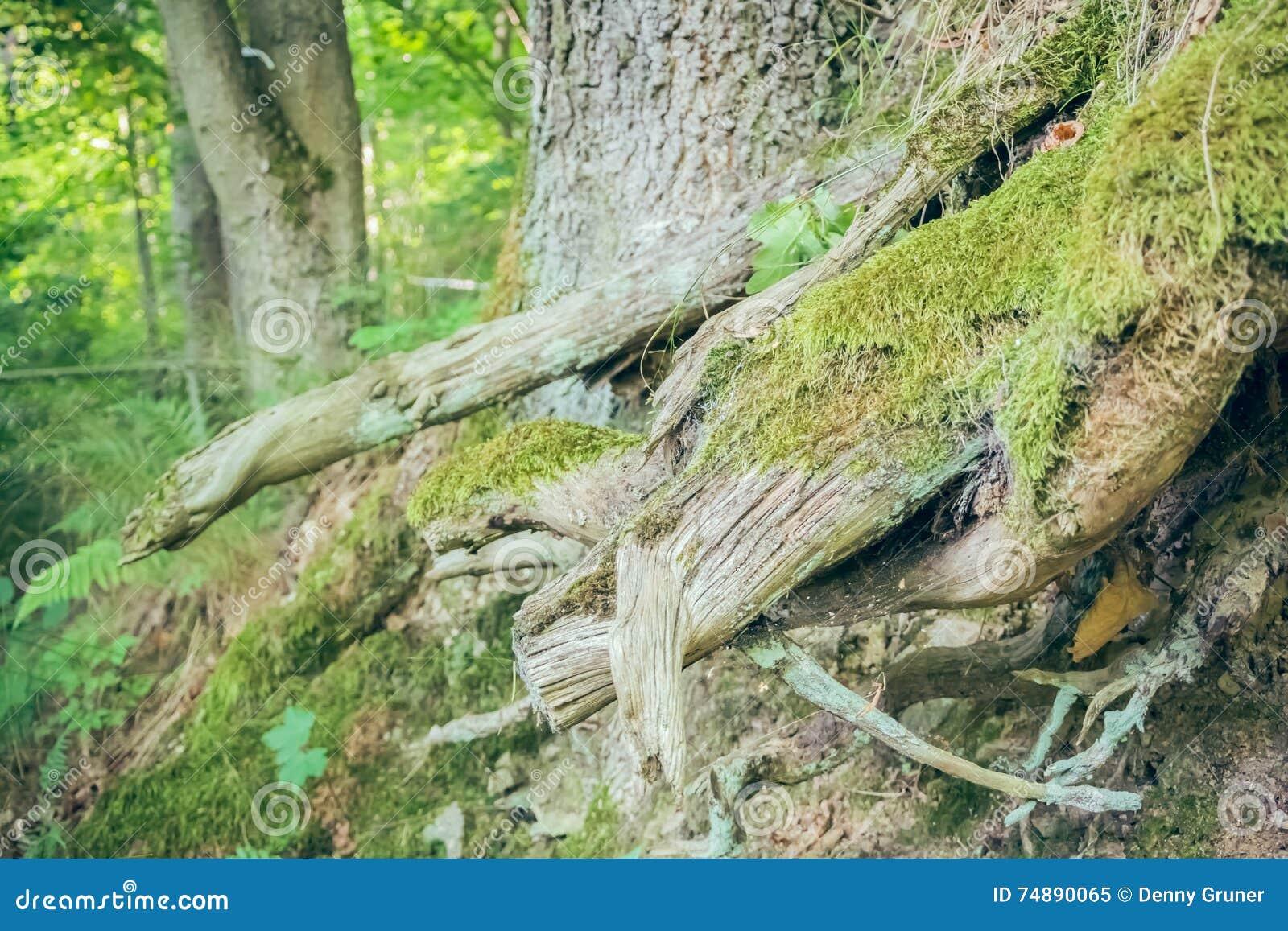 Raizes da árvore na floresta