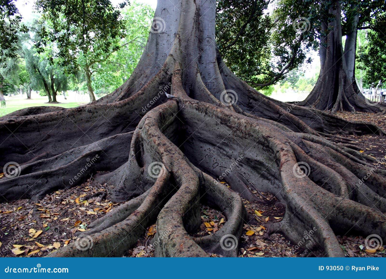 Raizes das árvores