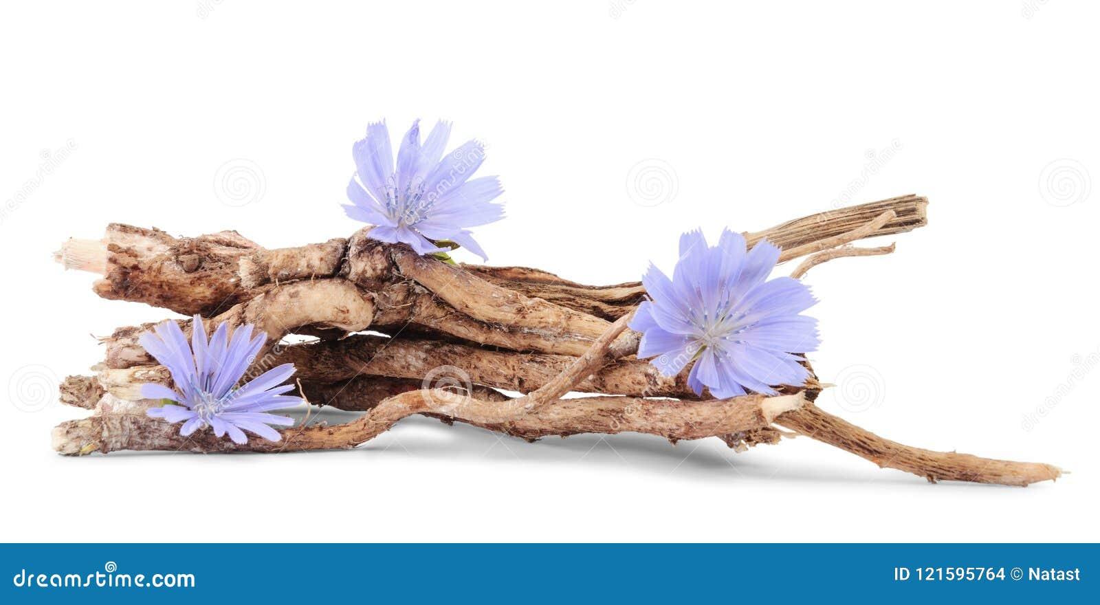 Raizes secas da chicória com as flores isoladas no branco