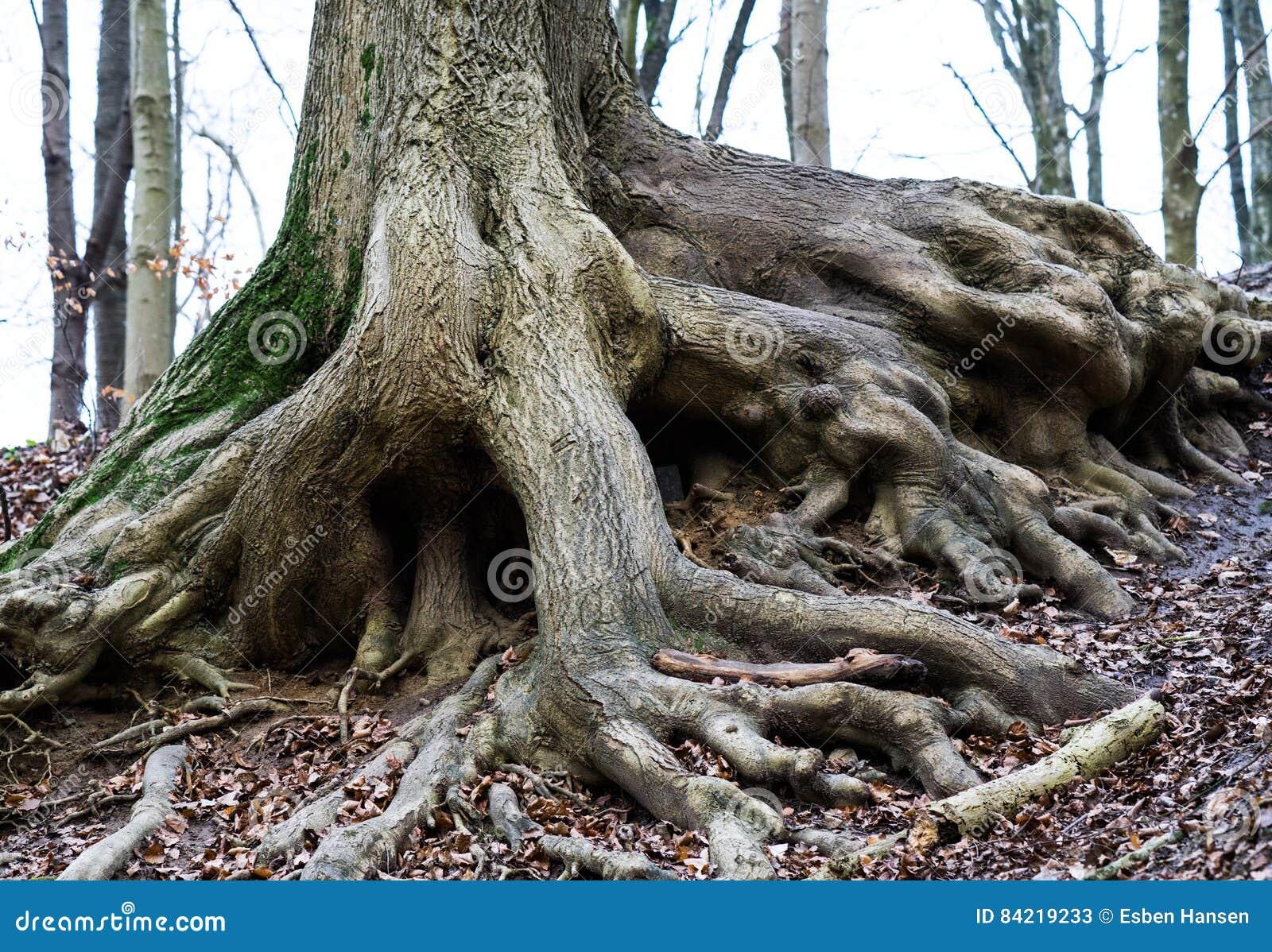 Raizes velhas da árvore