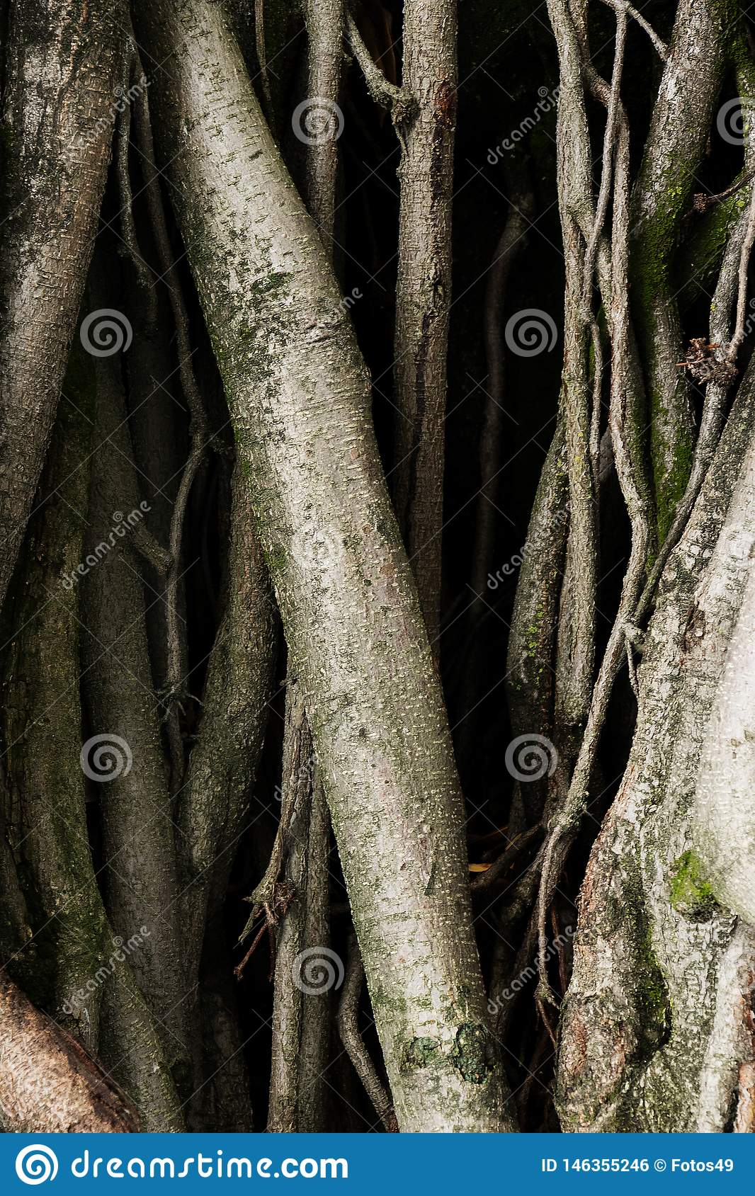 Raizes velhas da ?rvore com sentimentos assustadores do medo do musgo verde das sombras escuras