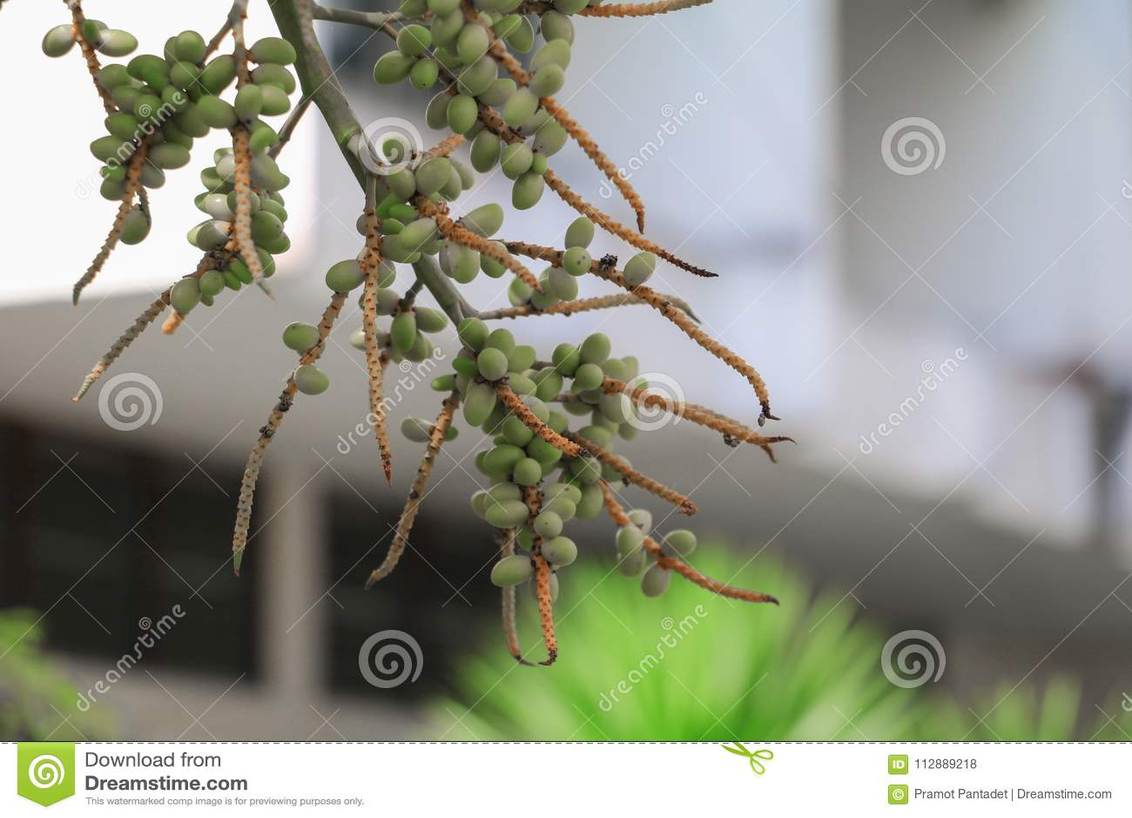 Raja Lipstick Palm Sealings-Wachs, Lippenstift, Raja, Zierpflanze Maharadschas im Garten wählen Sie Fokus mit flacher Tiefe von f